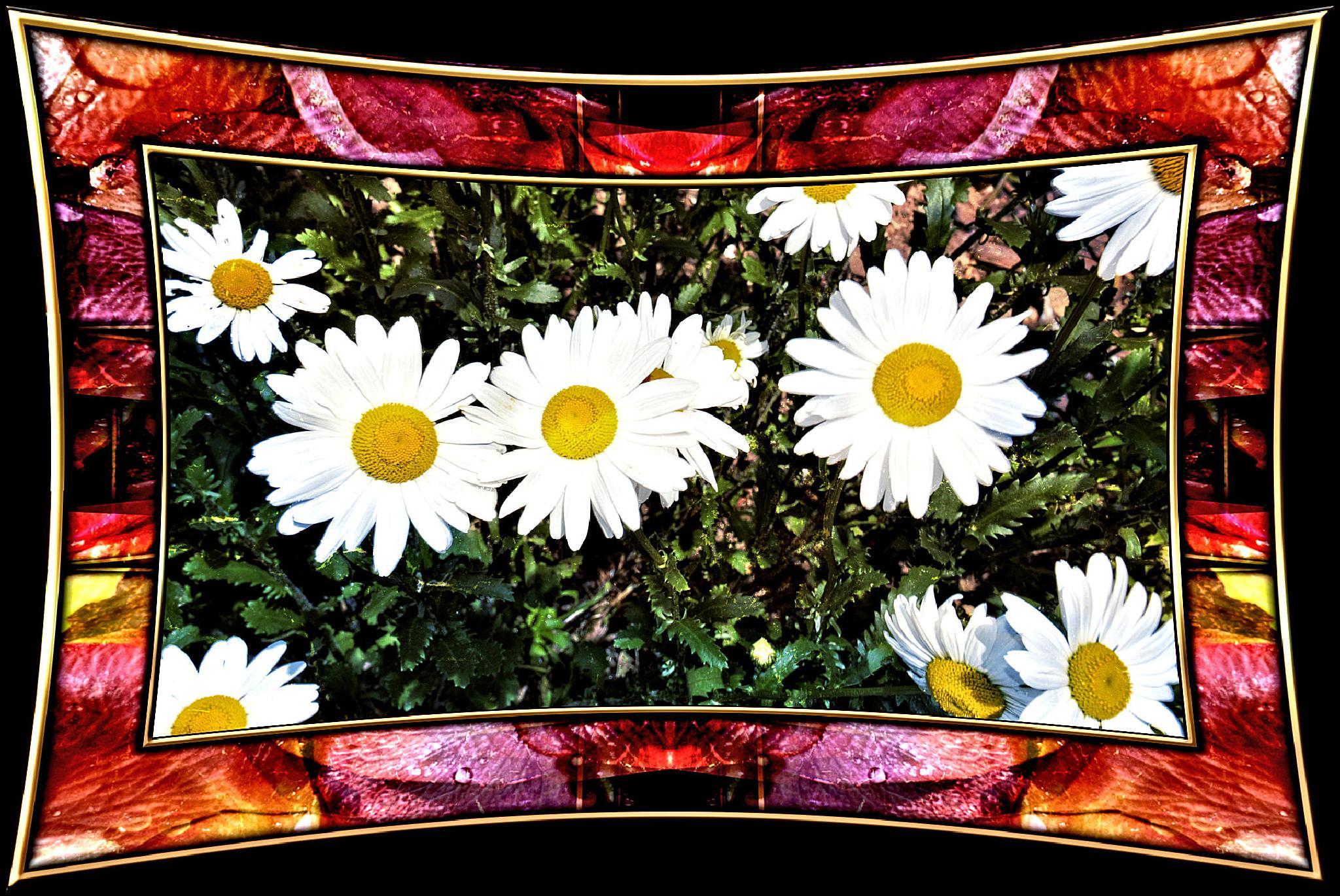 Gänseblümchen und Rosenblätter by RoPaFue