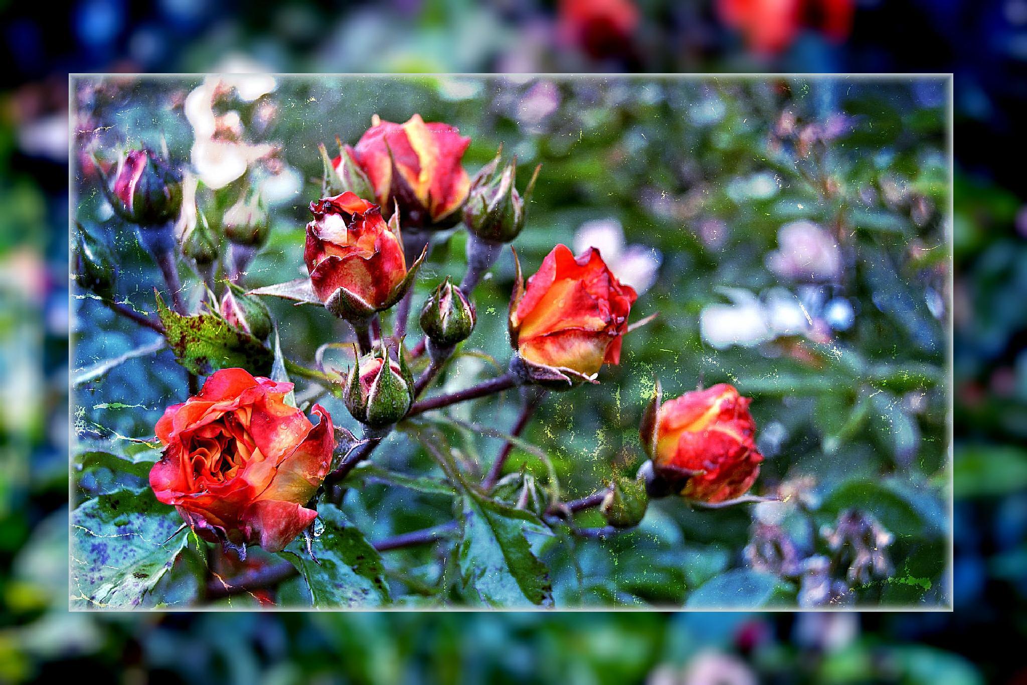 Rote Rosen zur blauen Stunde by RoPaFue