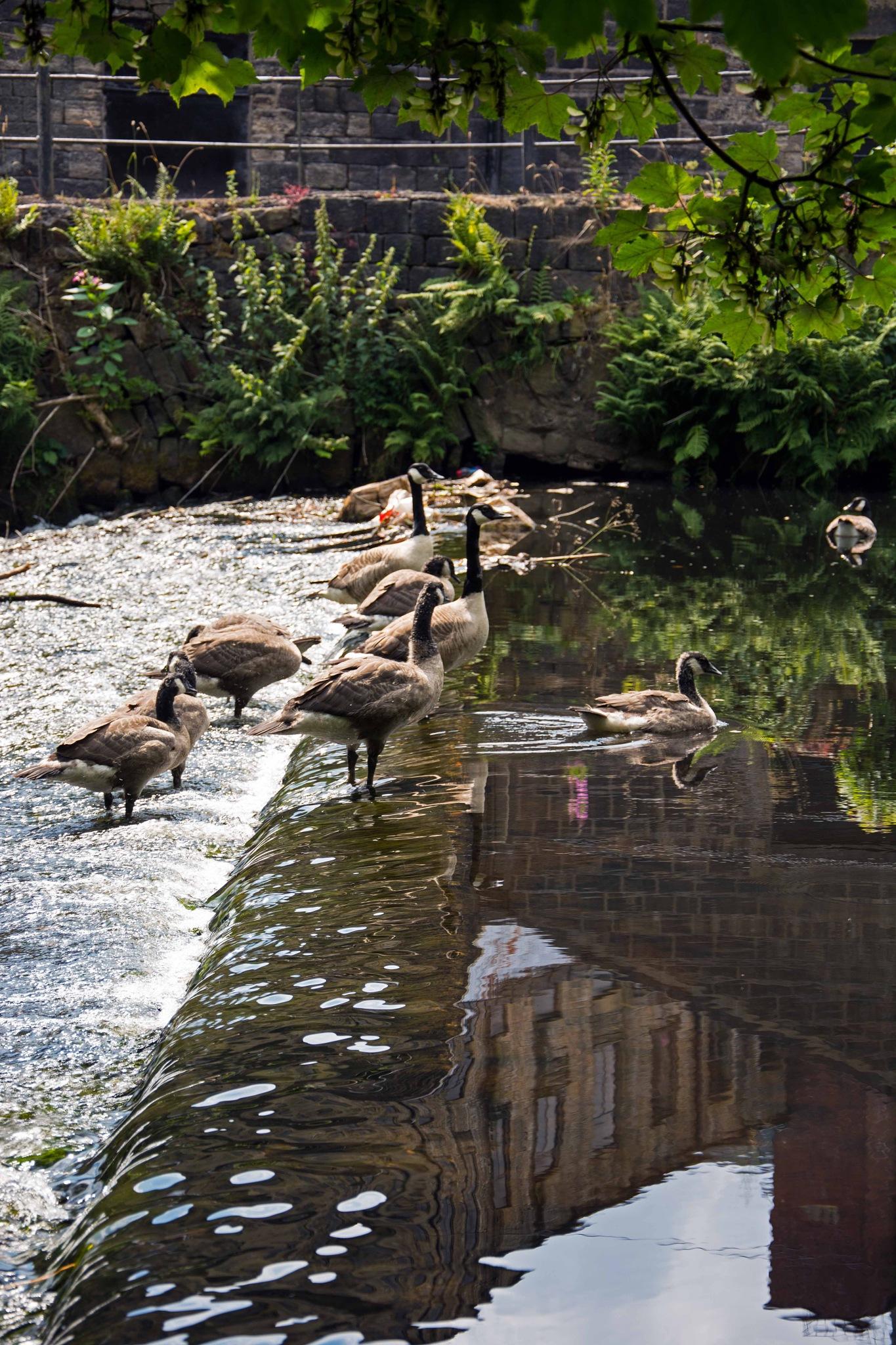 Canada Geese on a weir by ianjck