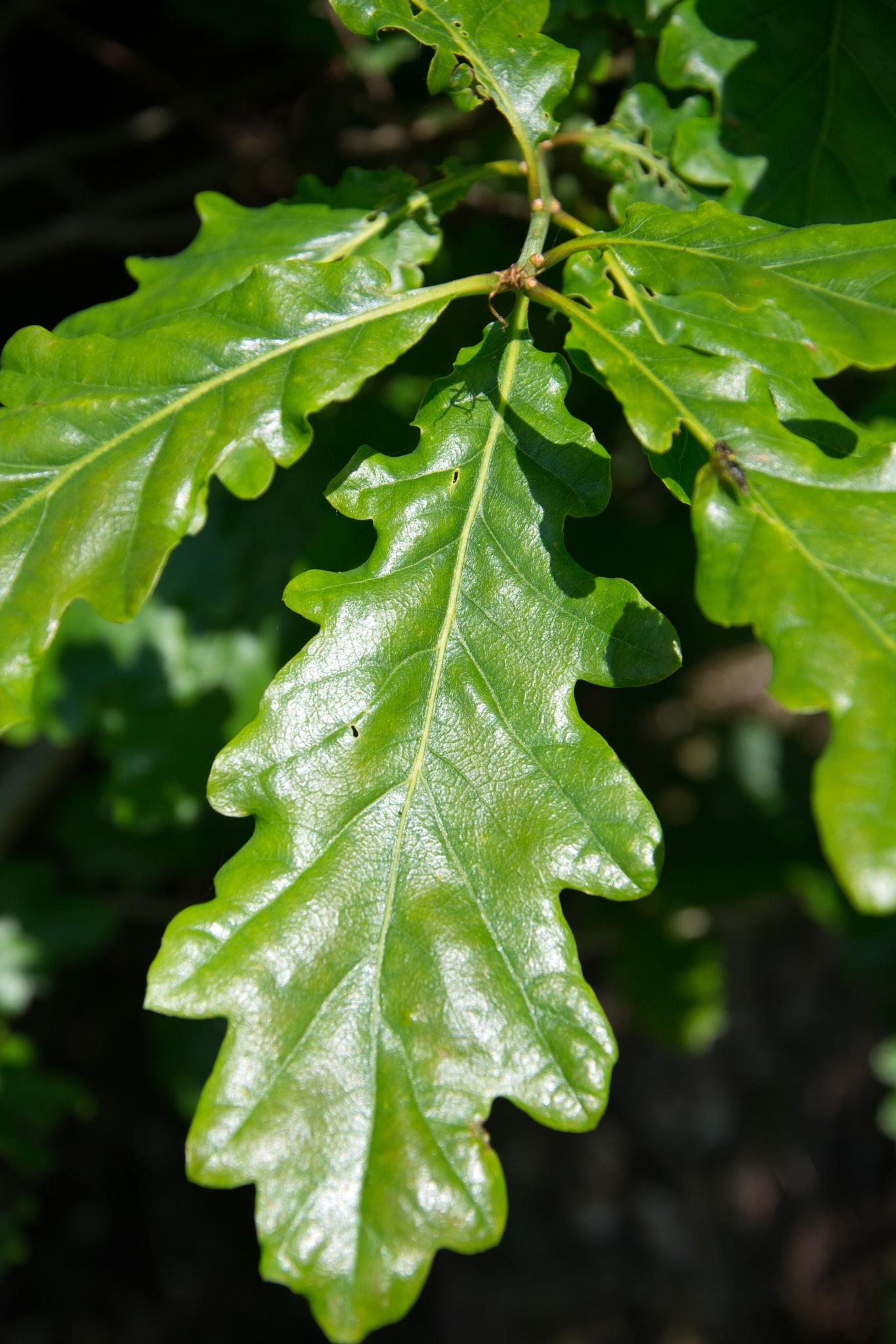 Photo in Nature #oak #tree #leaf #nature