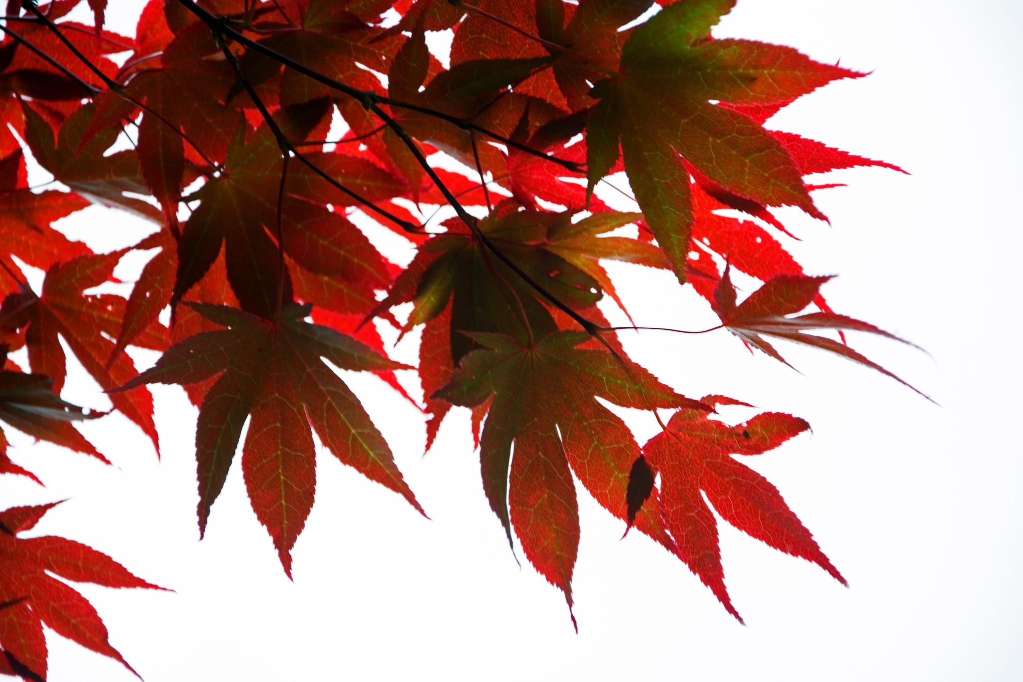Japanese maple by ianjck