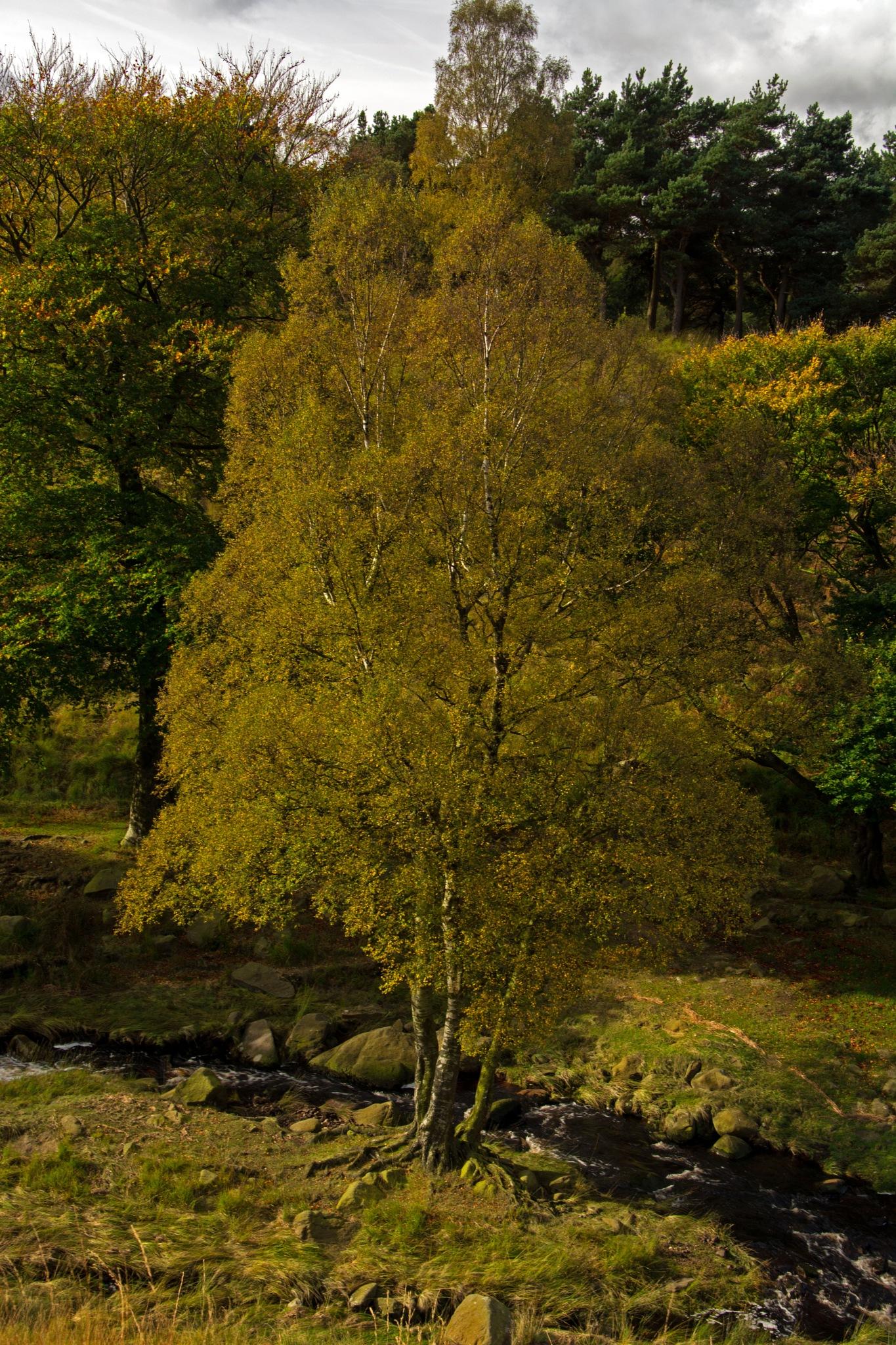 Autumn tree by ianjck