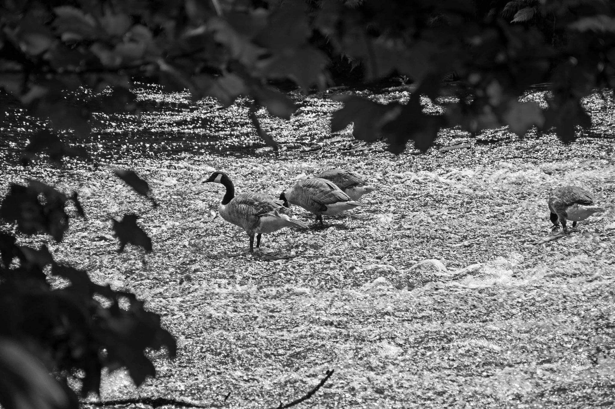 Canada Geese on a weir 2 by ianjck