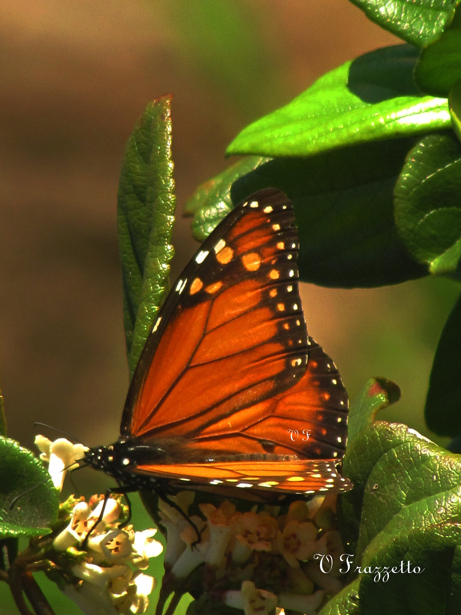 butterfly--- Mariposa by vivianafrazzetto