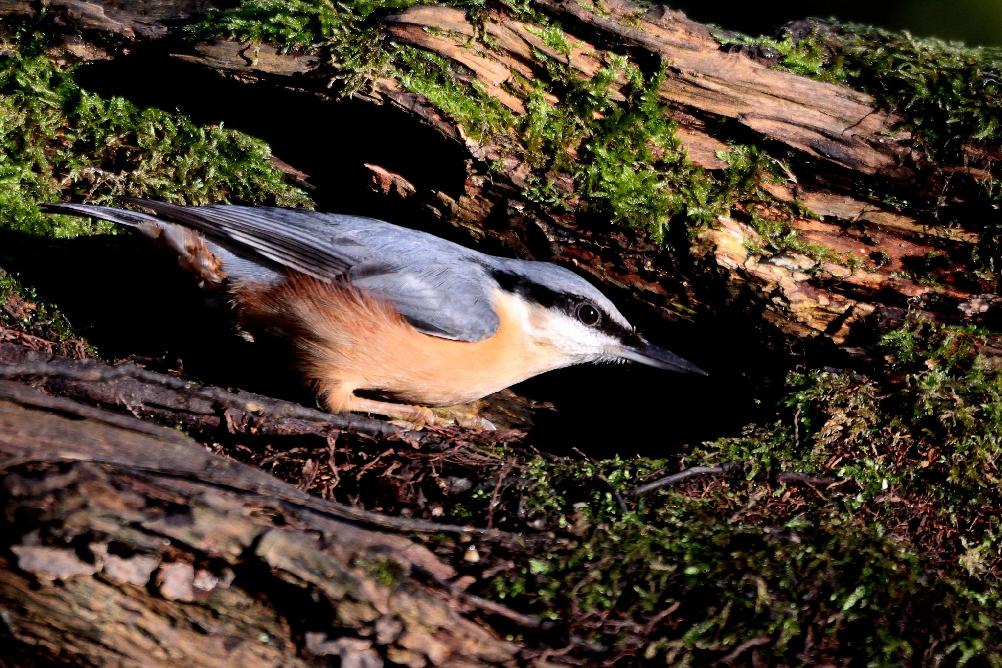 Nuthatch by andy.quinn.355