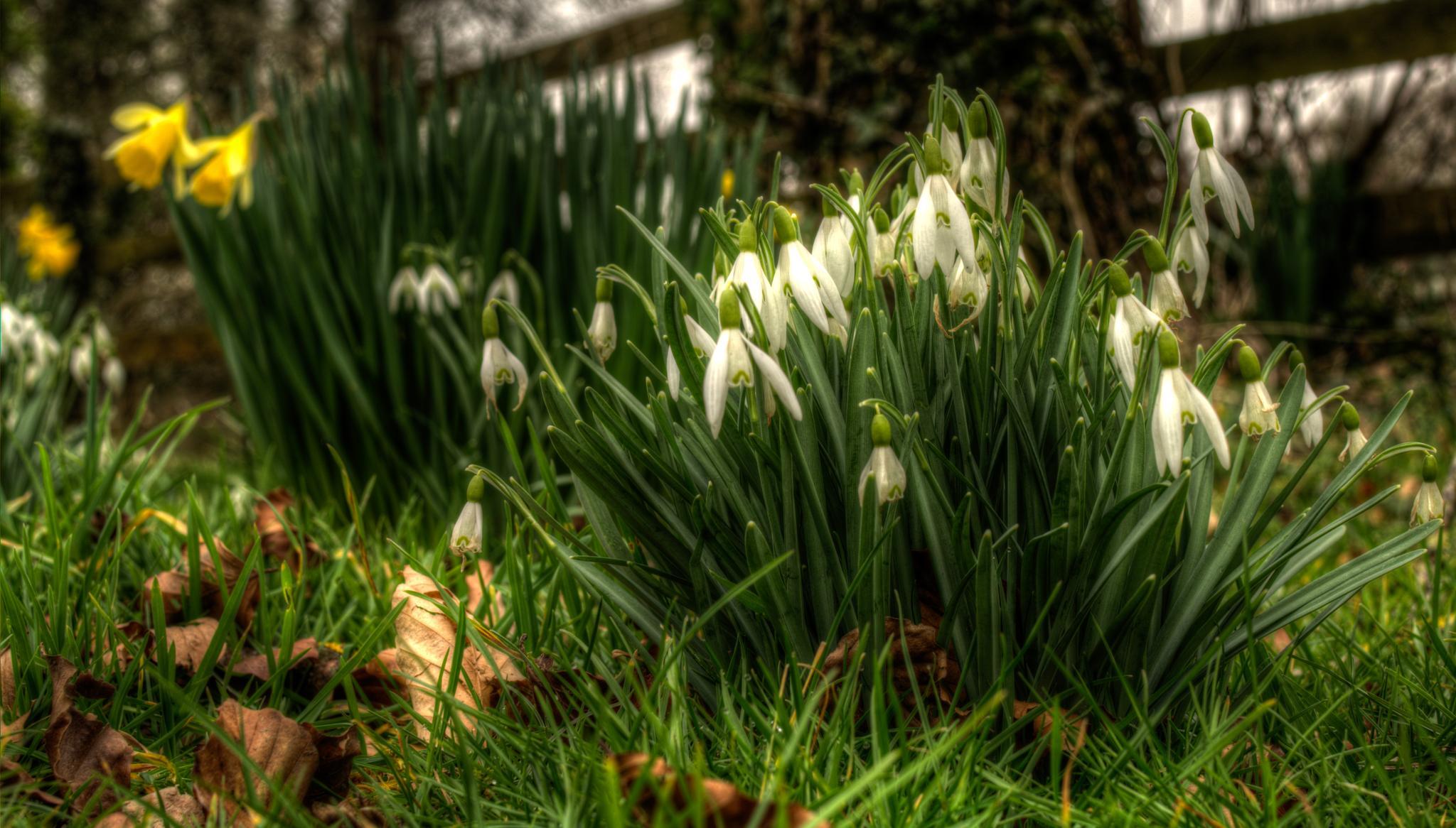 Snowdrops by mike.lloyd.125