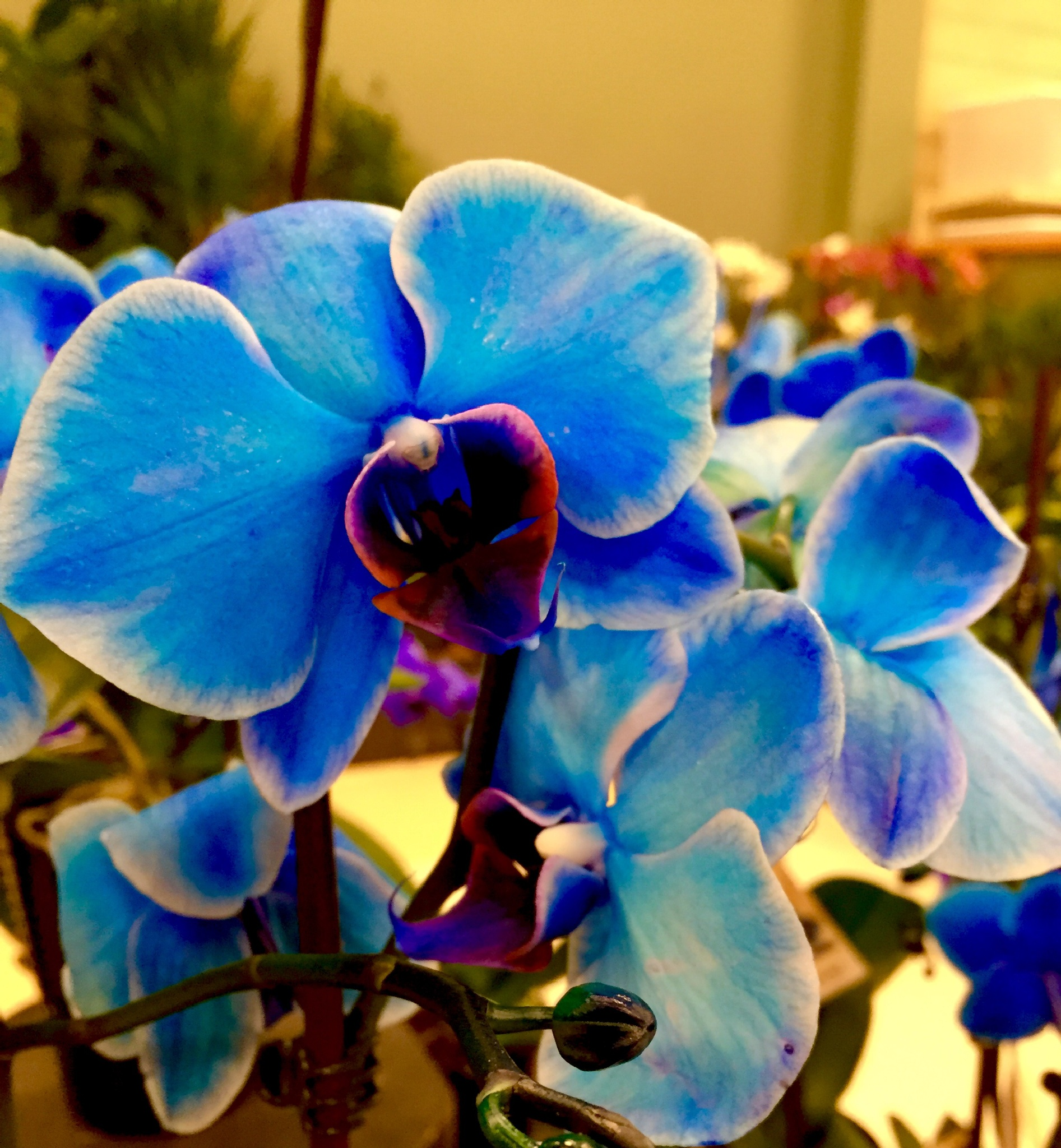 Blue orchid by tessa33