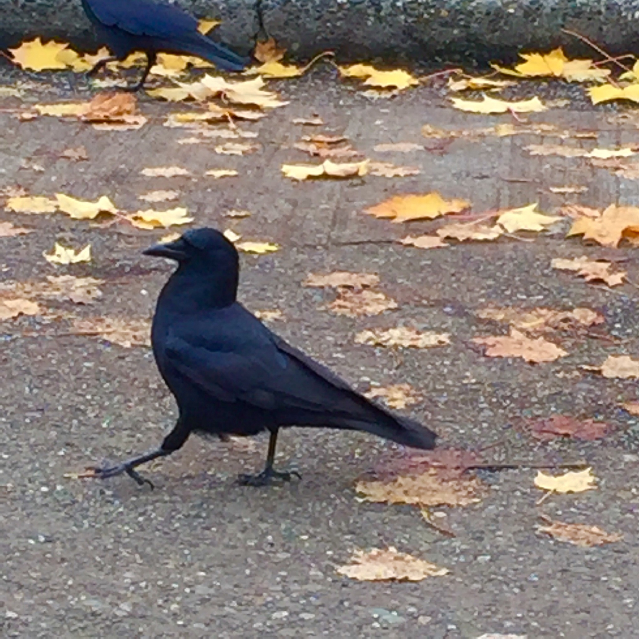 I love crows  by tessa33