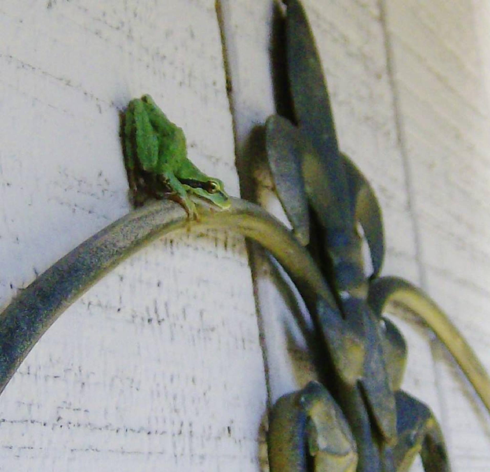 Tree frog by Dream Weavers Fotography