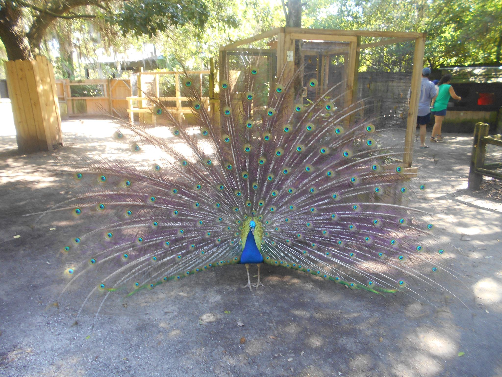 Peacock Love by Tamaralnh