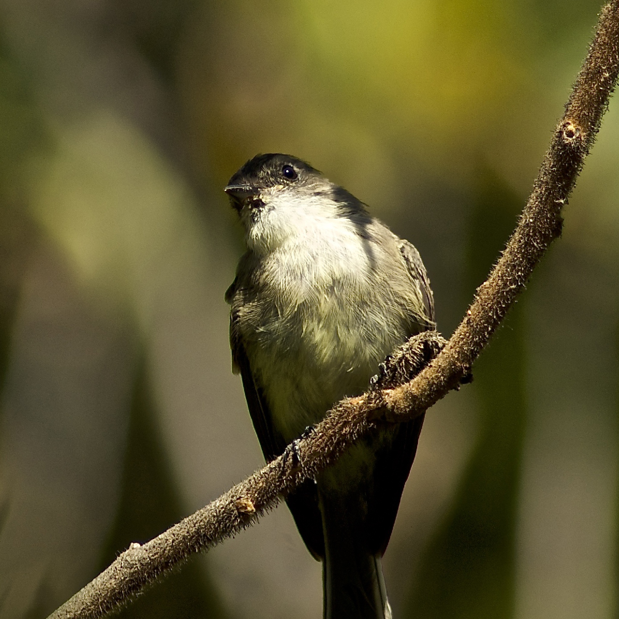 Eastern Phoebe by Fay R. Dildine, Jr.