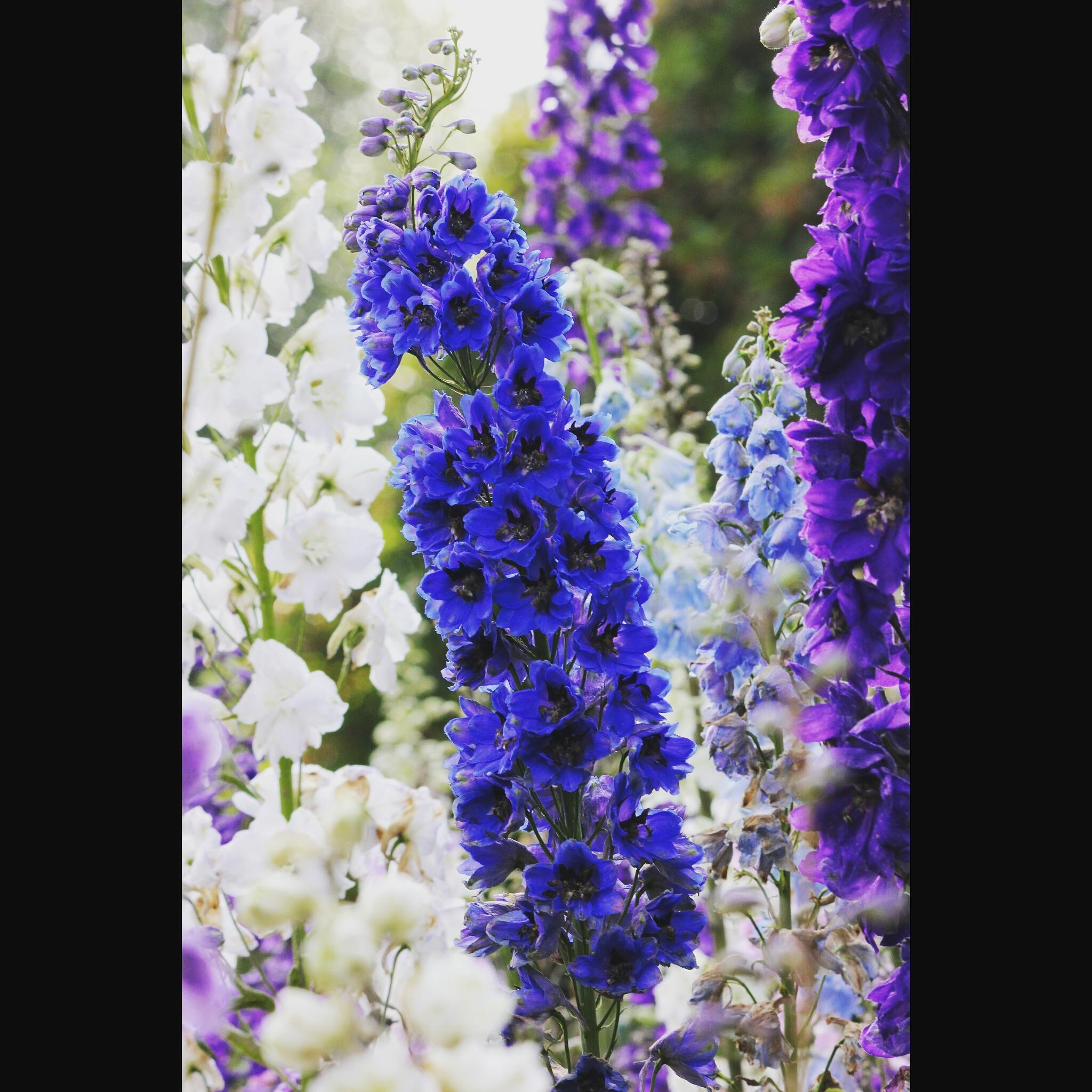 Blue *_* by Raji Selvakumar