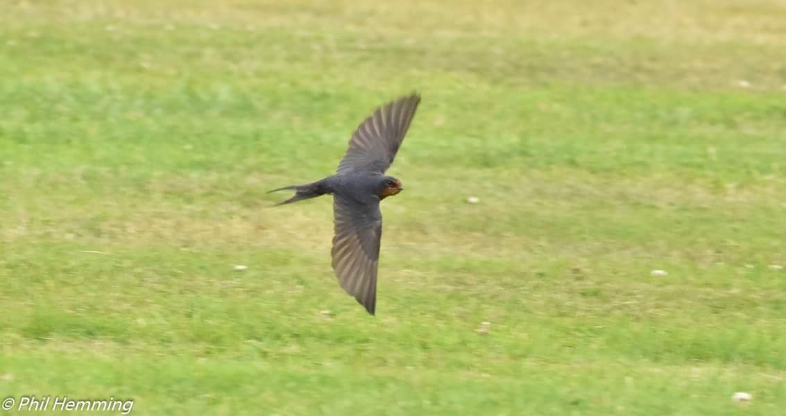 Swallow in flight by philip.hemming1