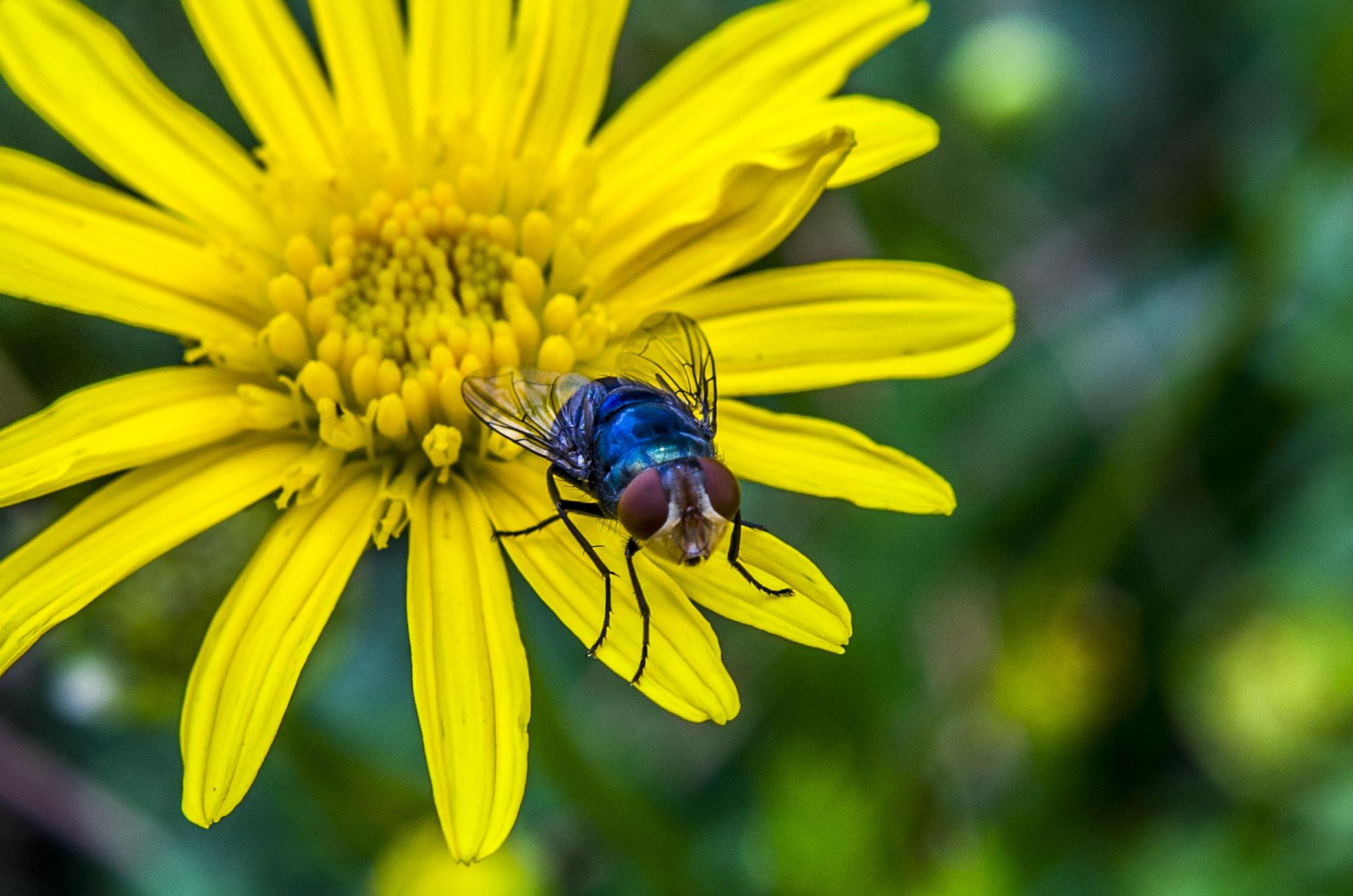 Blue back fly by BearMan