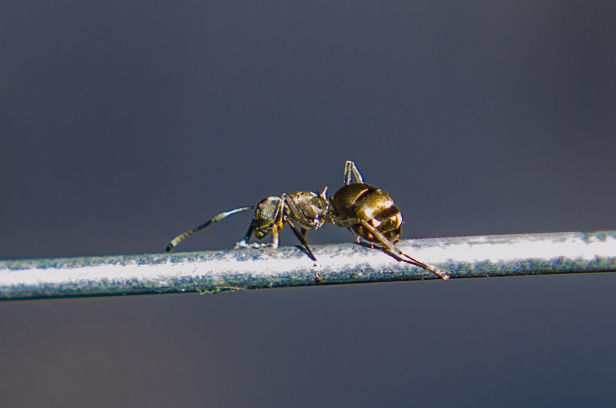 Sexy Ant by BearMan