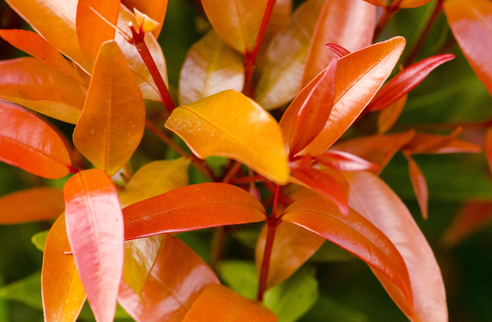Orange leaf by BearMan