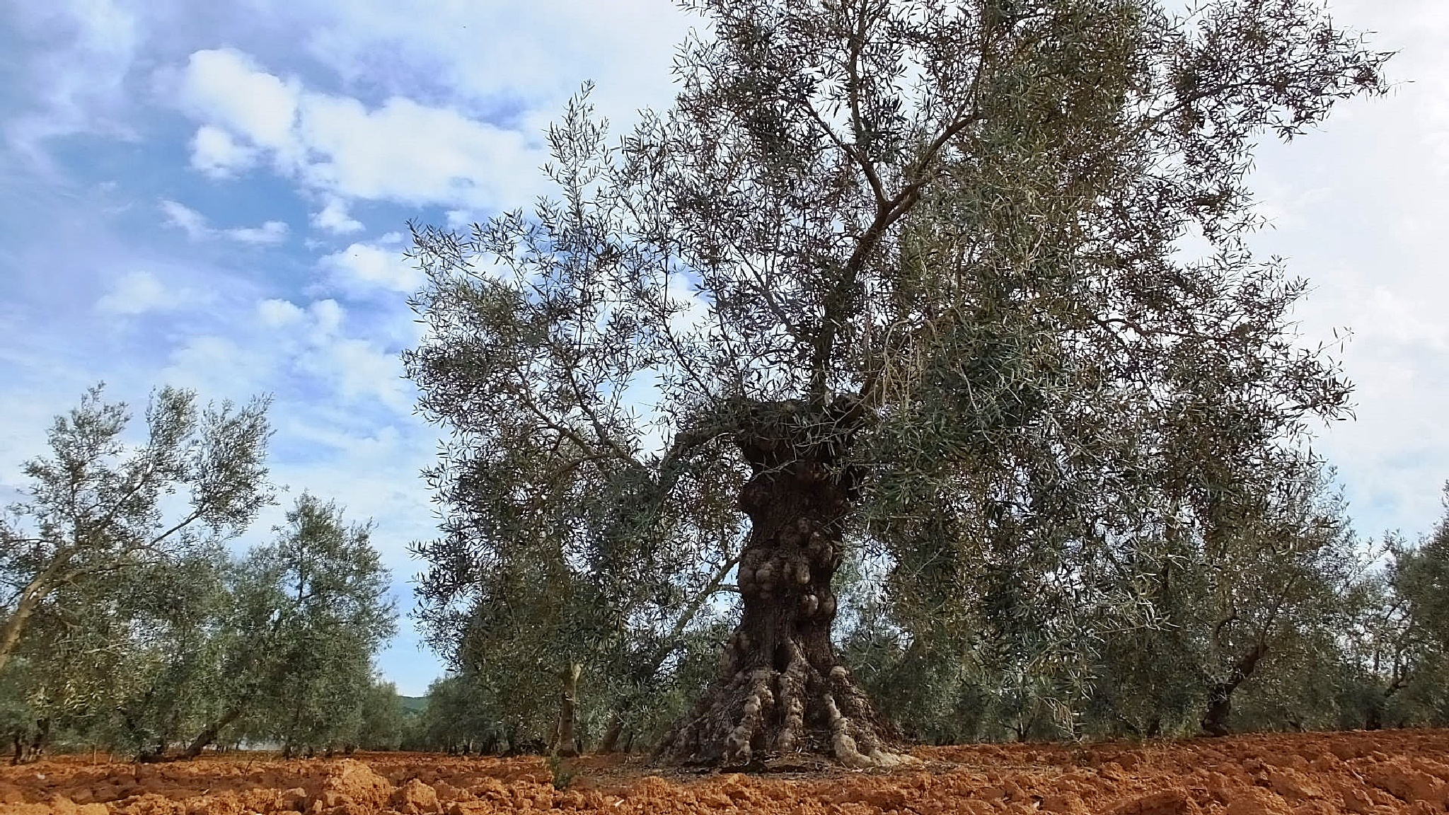 old olive tree by Peter Rowland