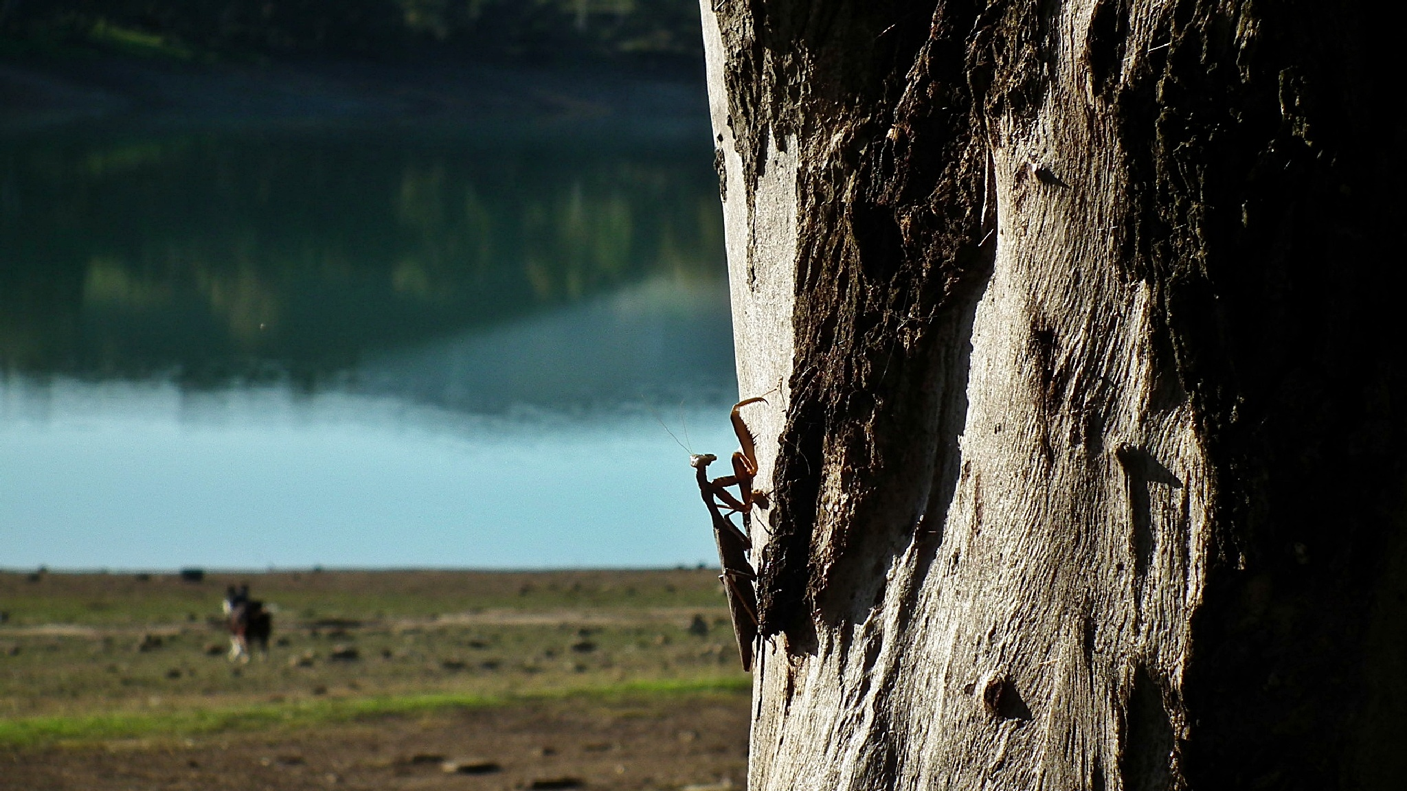 a Mantis climbing a tree by Peter Rowland