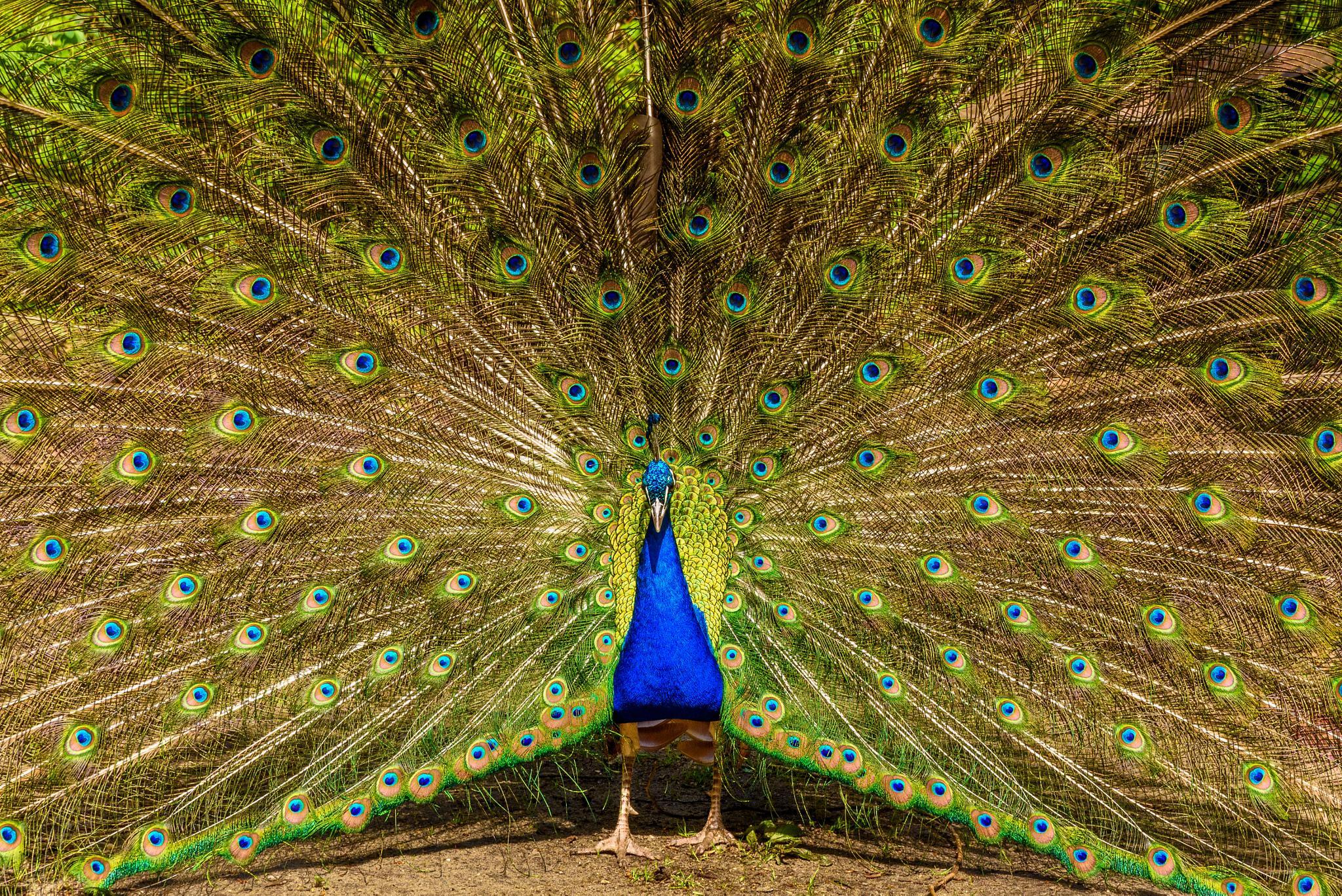 As Proud As A Peacock by dietmar.schwanitz