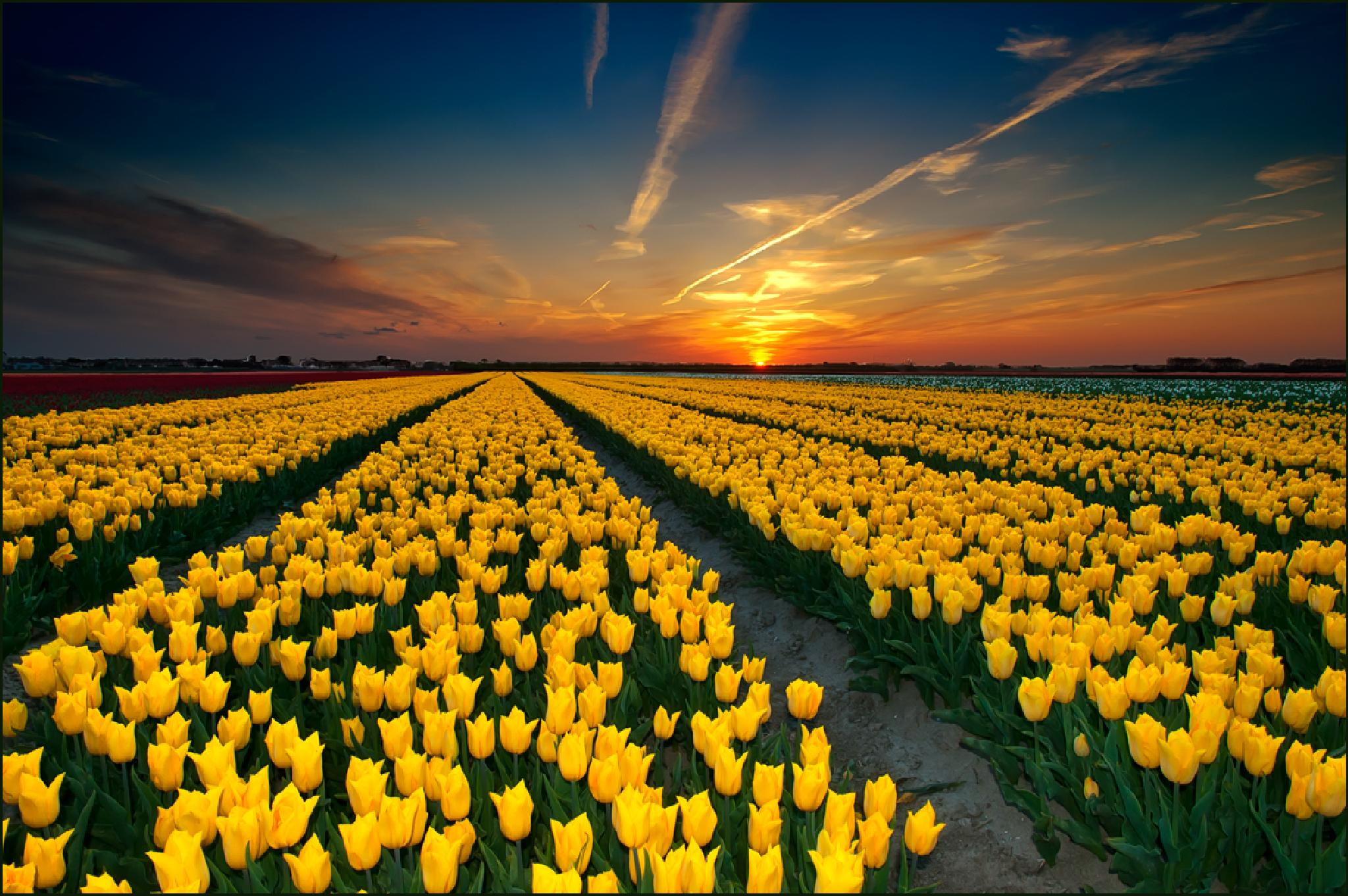 Tulips  by ellen.driessepladdet