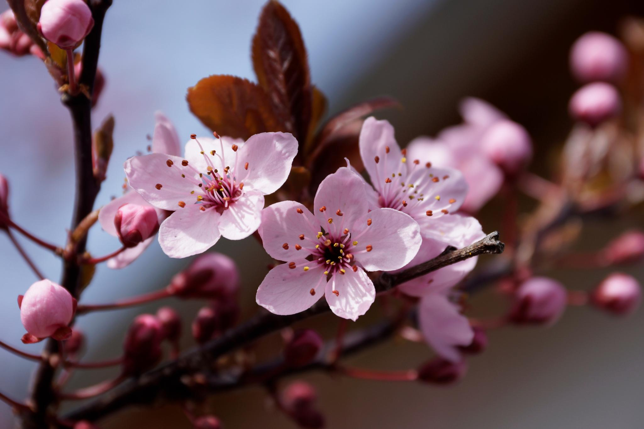 Japanese flowering cherry by xs5
