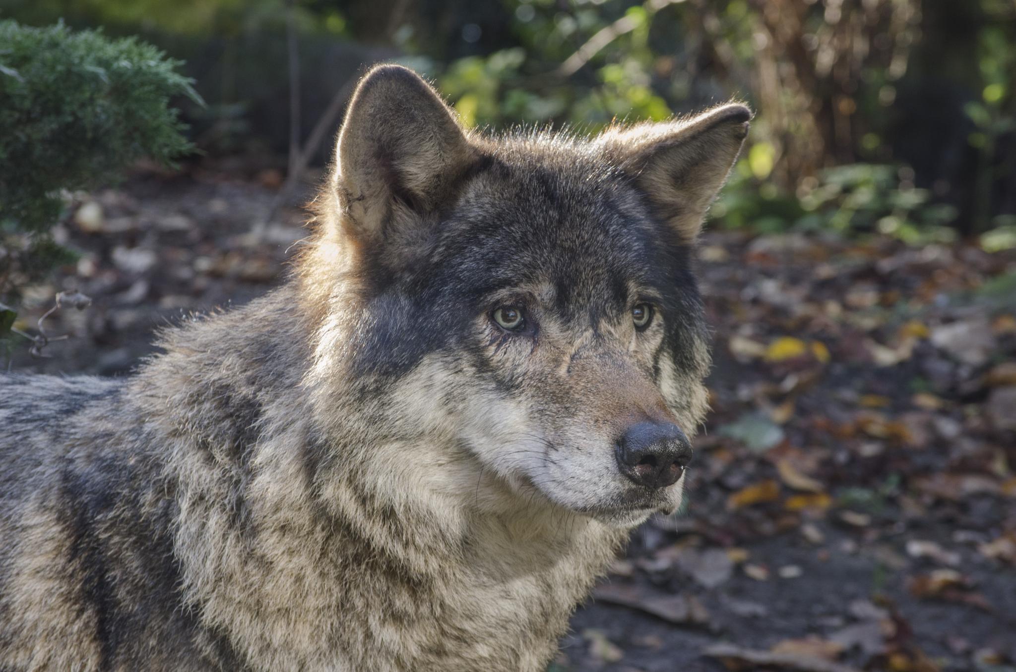 Wolf by erwin.michiels.773