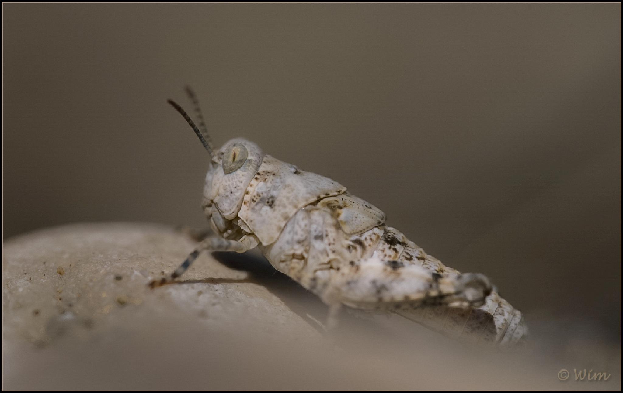 Orthoptera indet. by wim.brackez