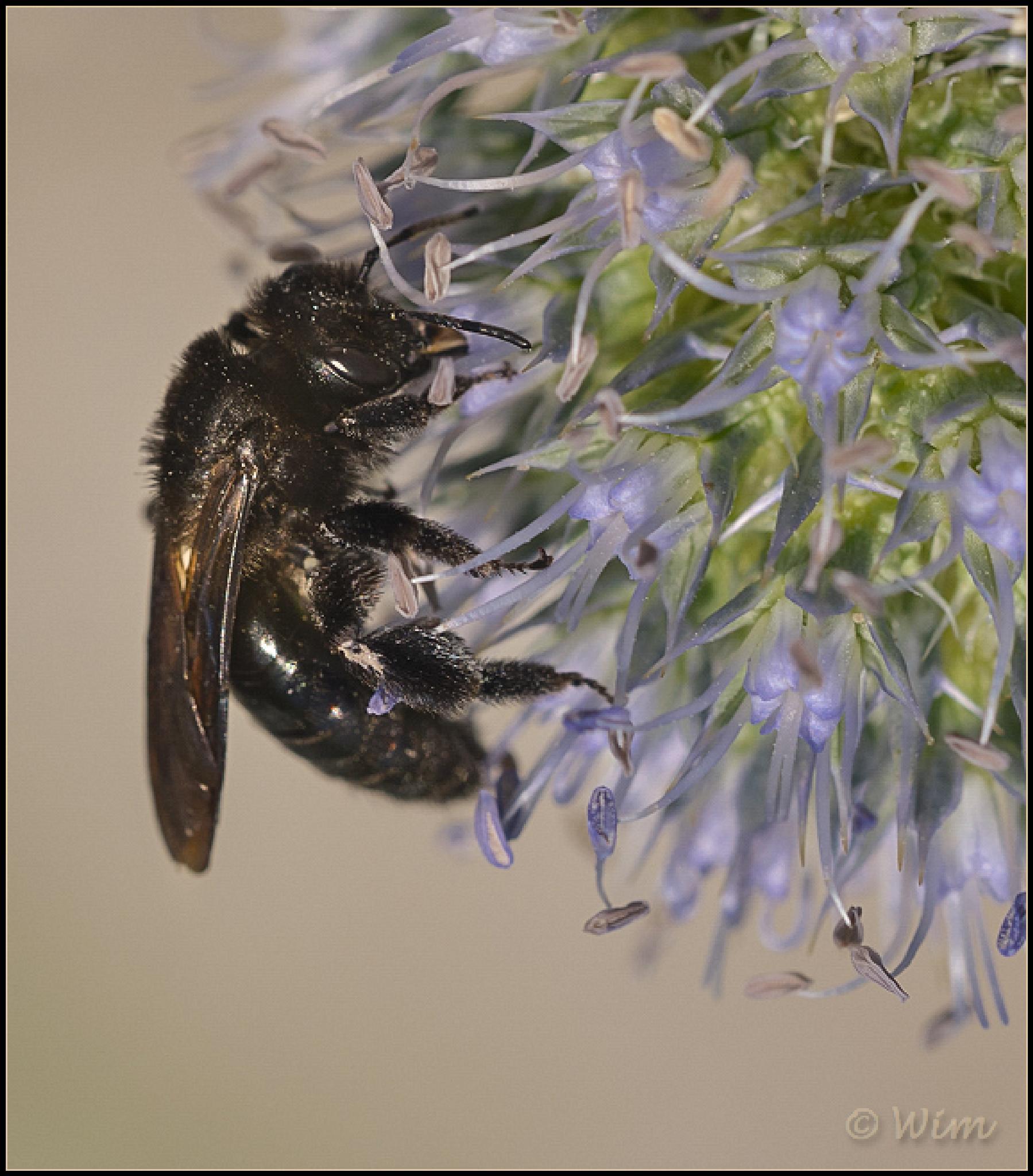 Black bee by wim.brackez