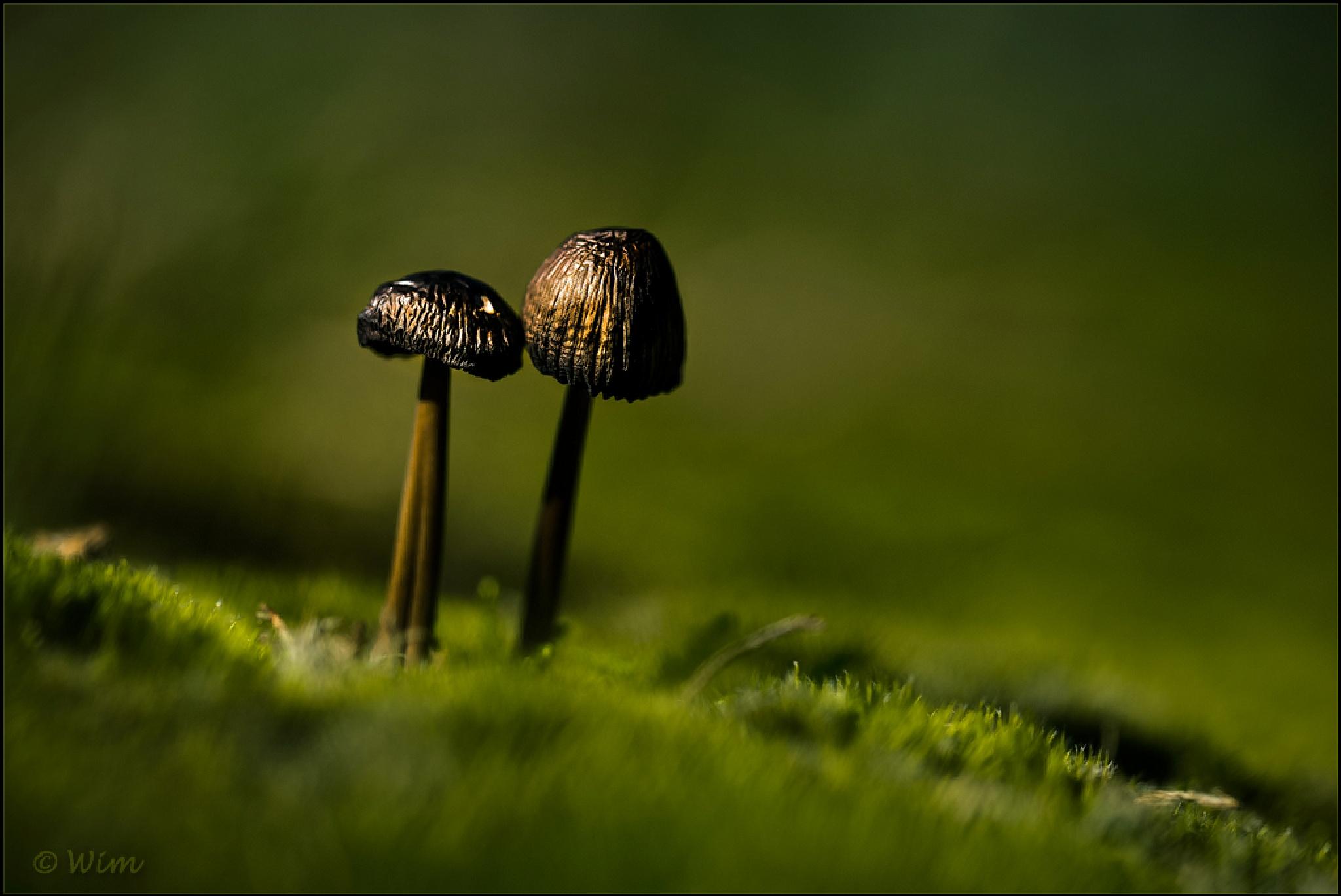 Zwartbruine vlekplaat - Panaeolus ater  by wim.brackez