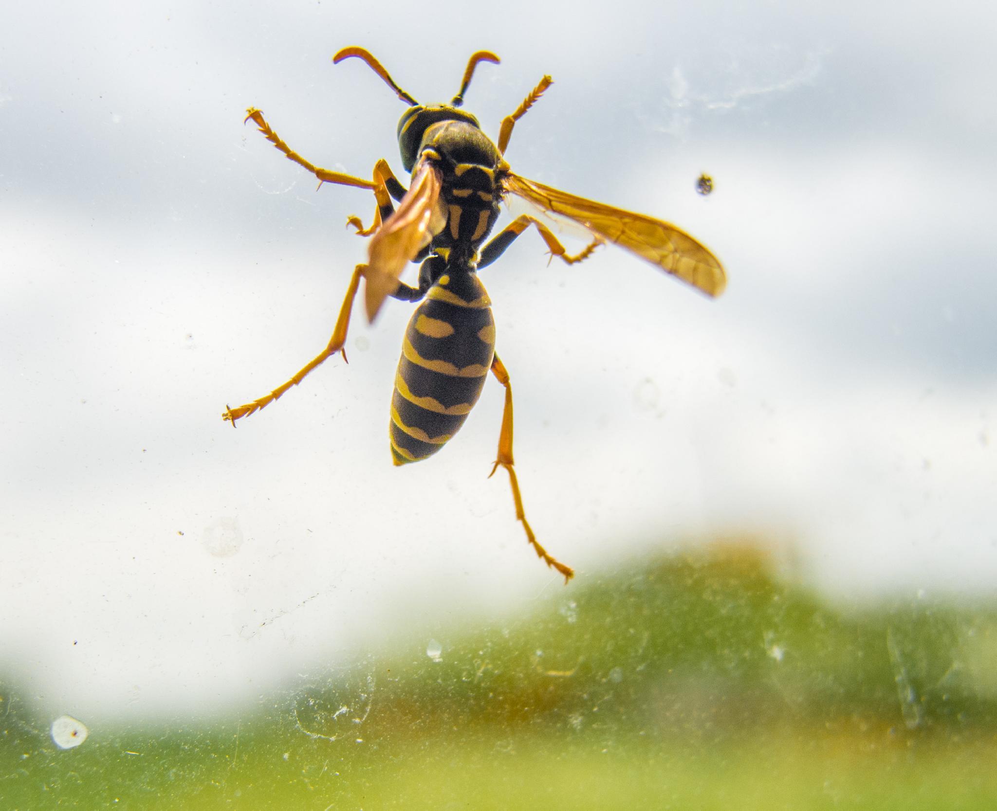 Wasp by stefan.brajkovic