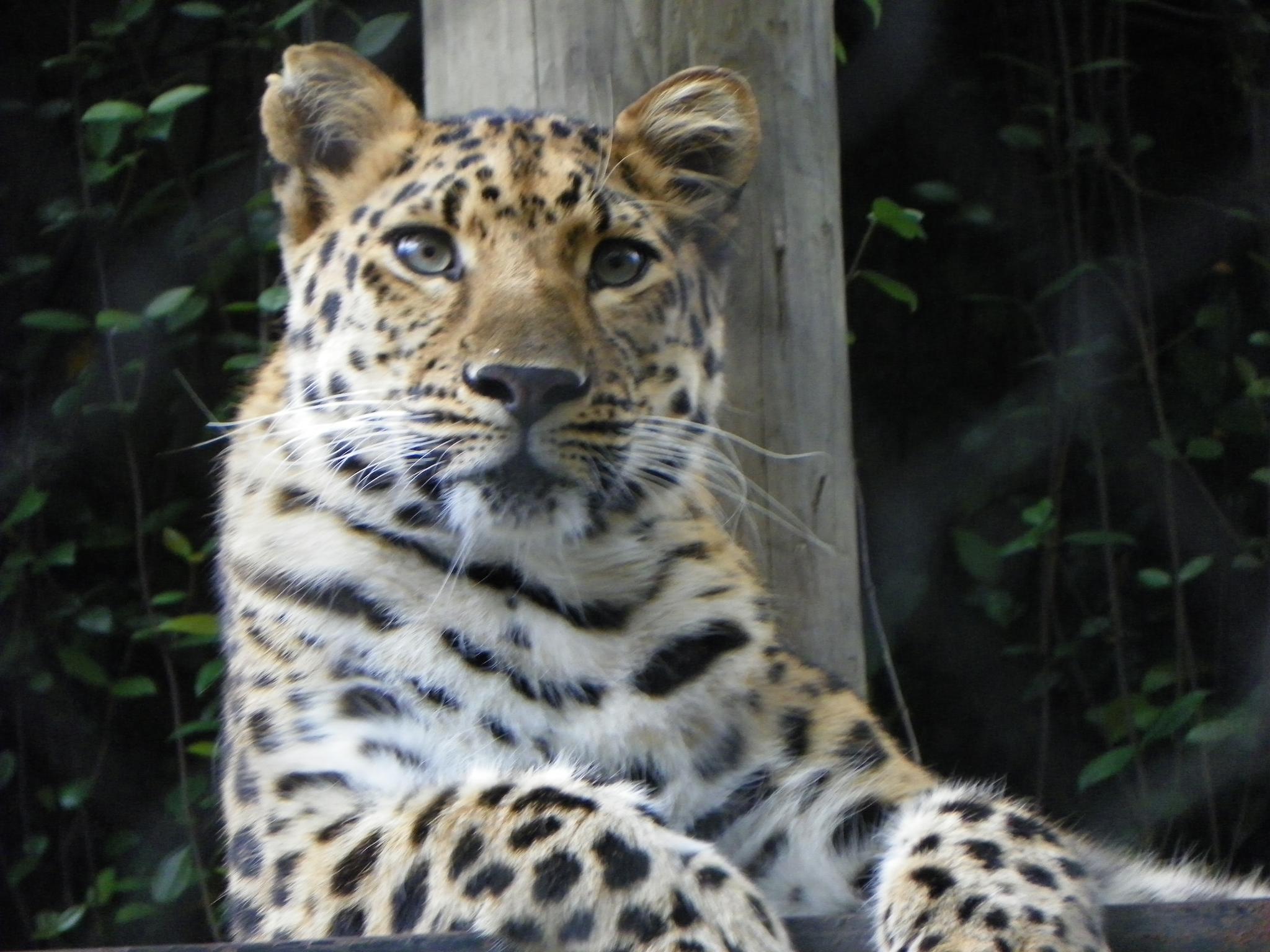 Amur Leopard by lisa.m.sanchez53