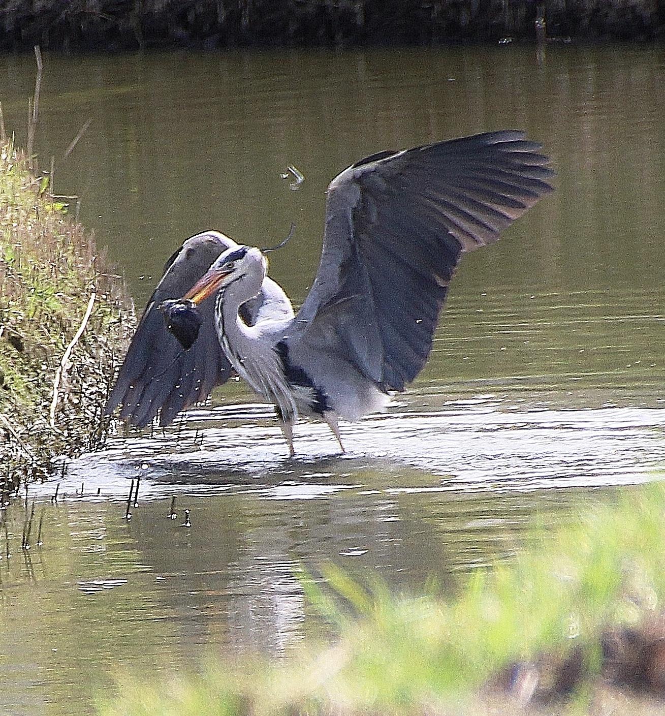 Heron catching a rat. by annamaria.jacobsgalluzzi