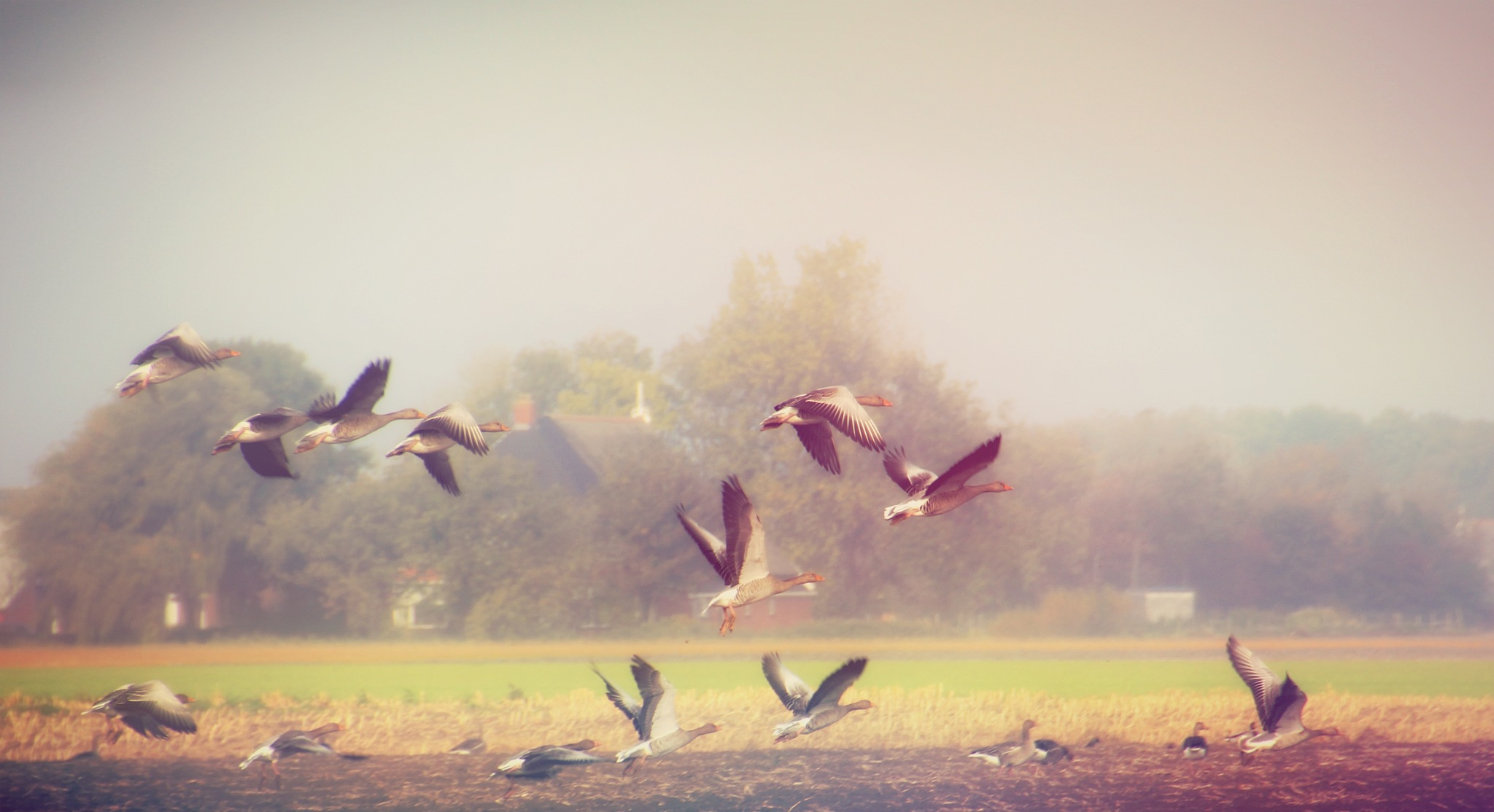 Geese on a flight by annamaria.jacobsgalluzzi