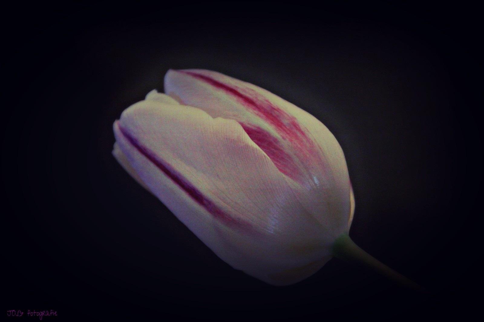 Pink tulip by annamaria.jacobsgalluzzi