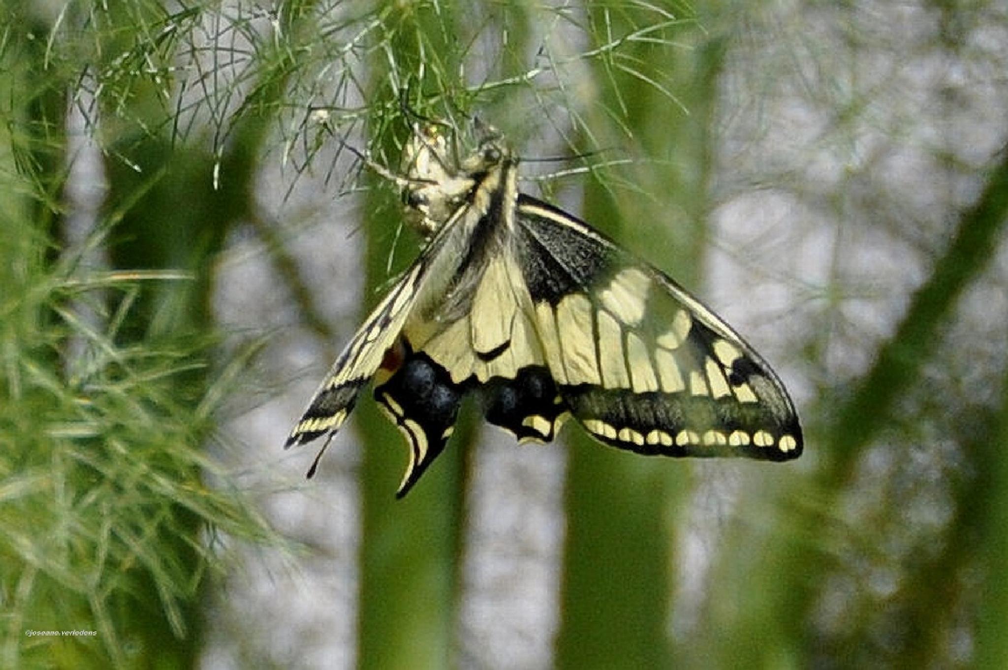 papillo machron by joseane.verledens