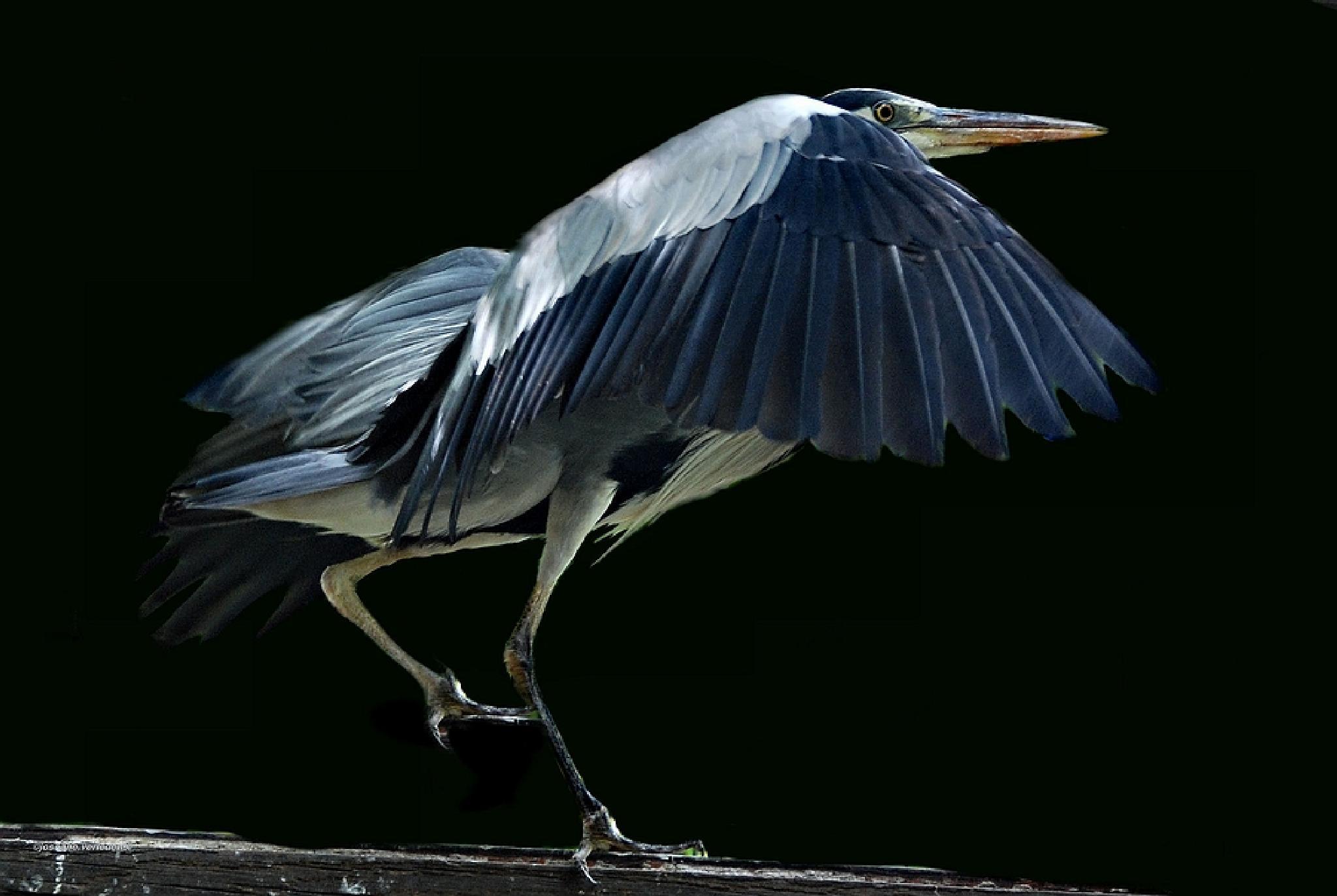 heron by joseane.verledens