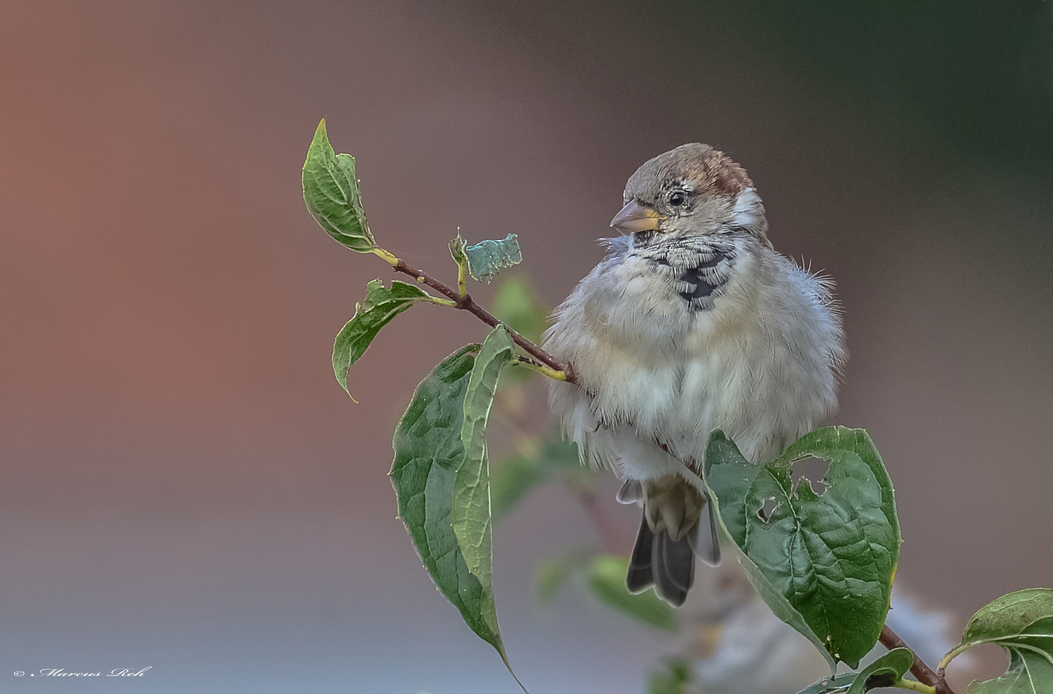 Young sparrow ( male ) by Marcus Reh
