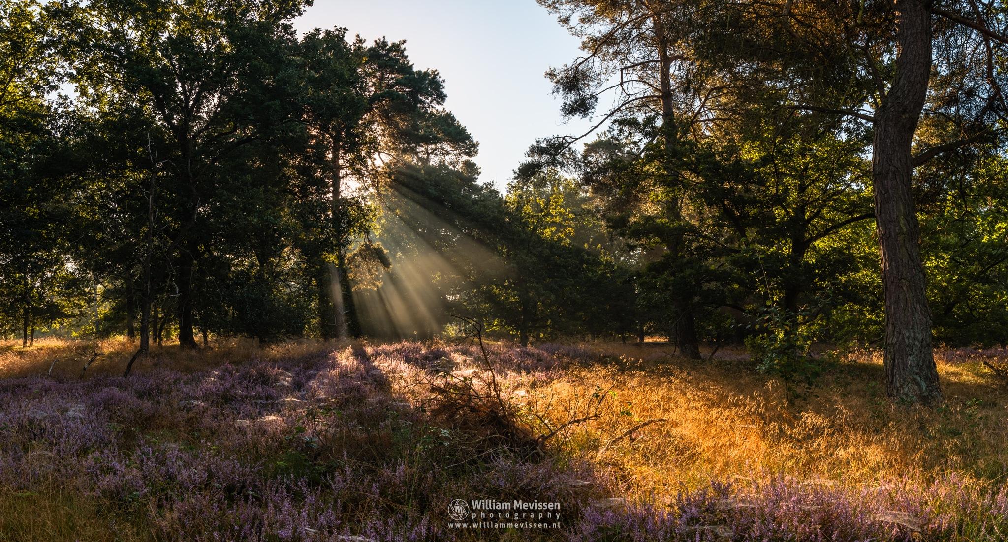 Panorama - Heather Light Rays by William Mevissen