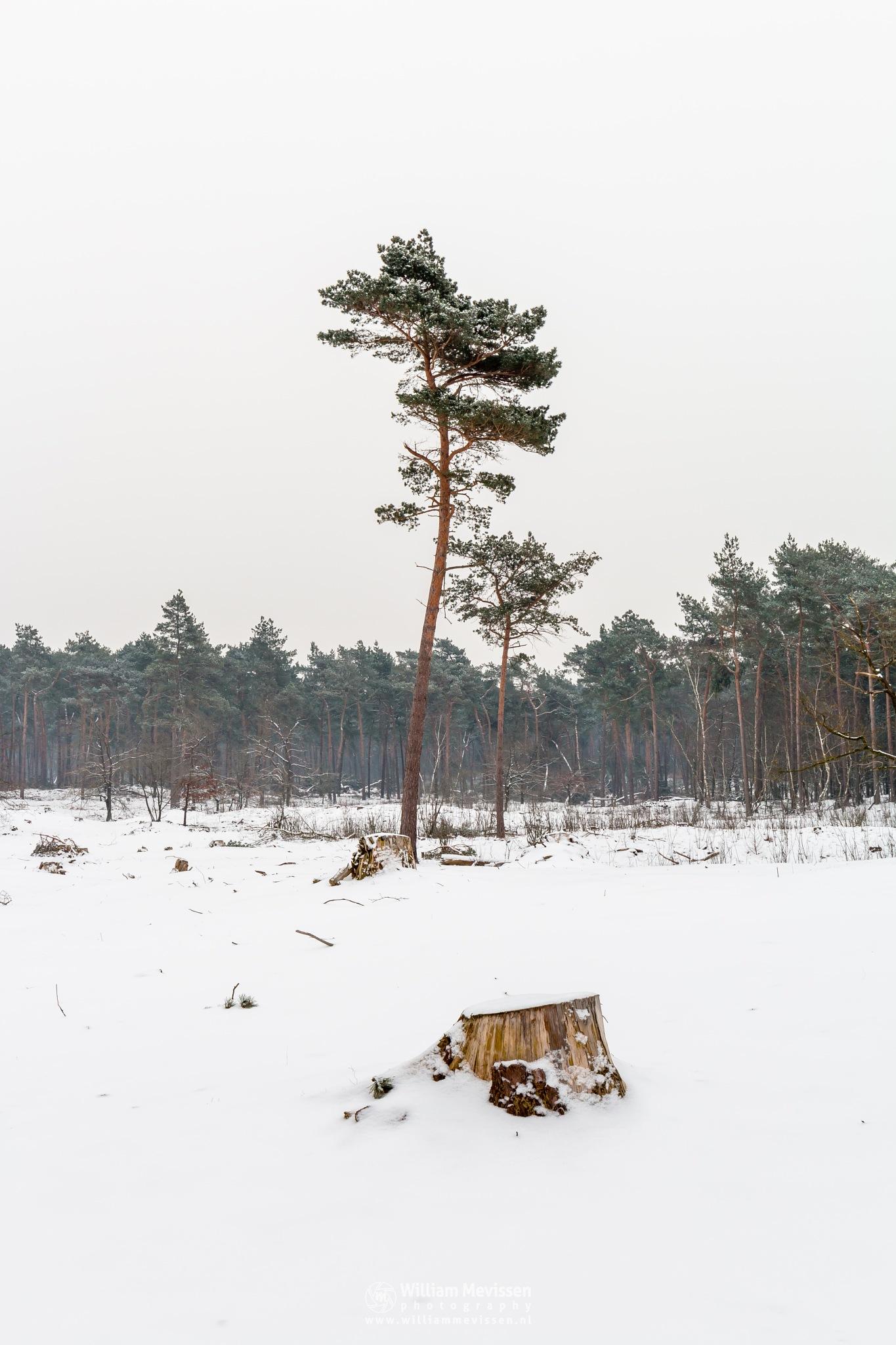 Photo in Landscape #boshuizerbergen #boschhuizerbergen #venray #nature #limburg #netherlands #forest #snow #winterlandscape #trunks #trunk #tree #trees #winter #noord-limburg