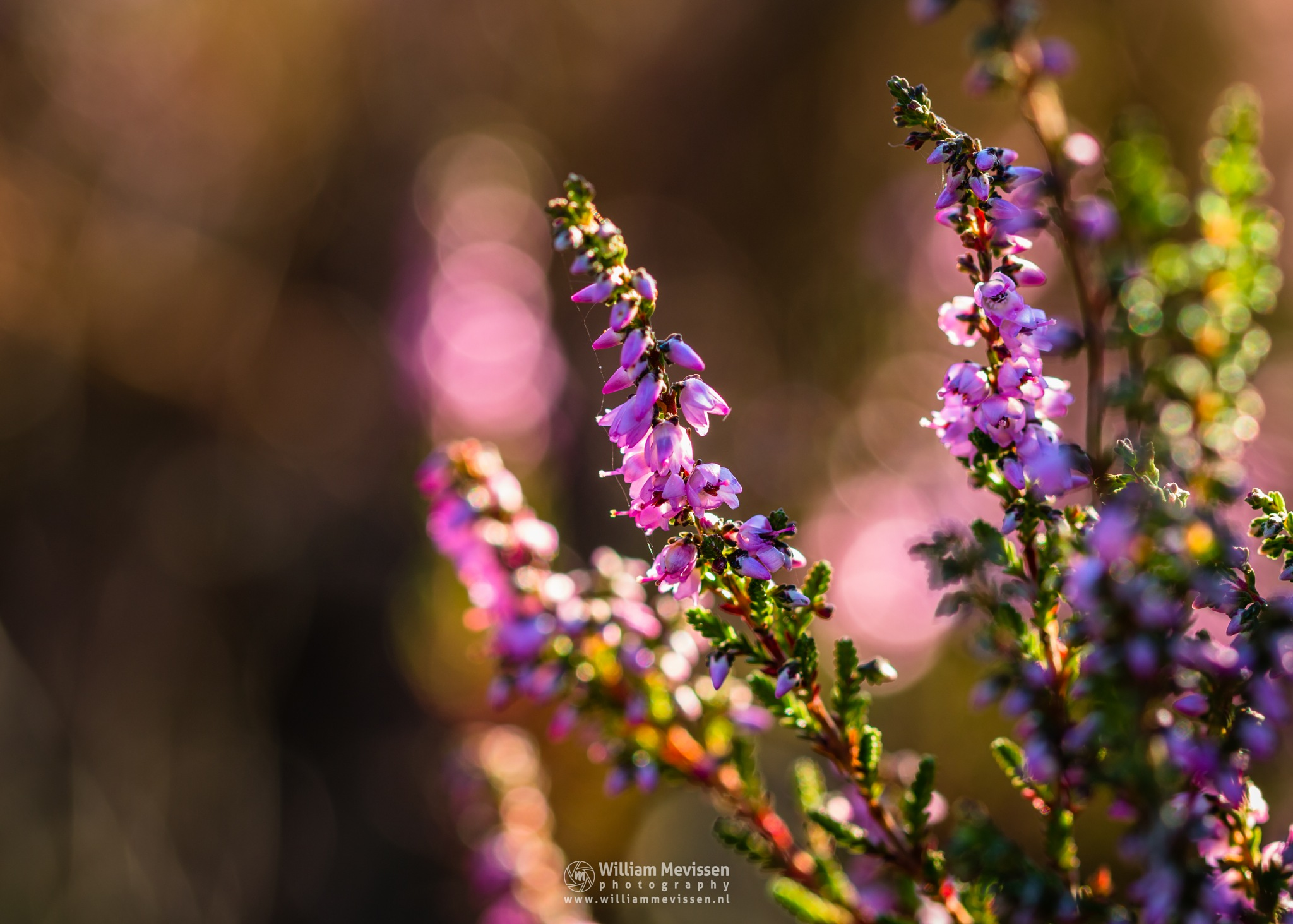 Blooming Heather by William Mevissen