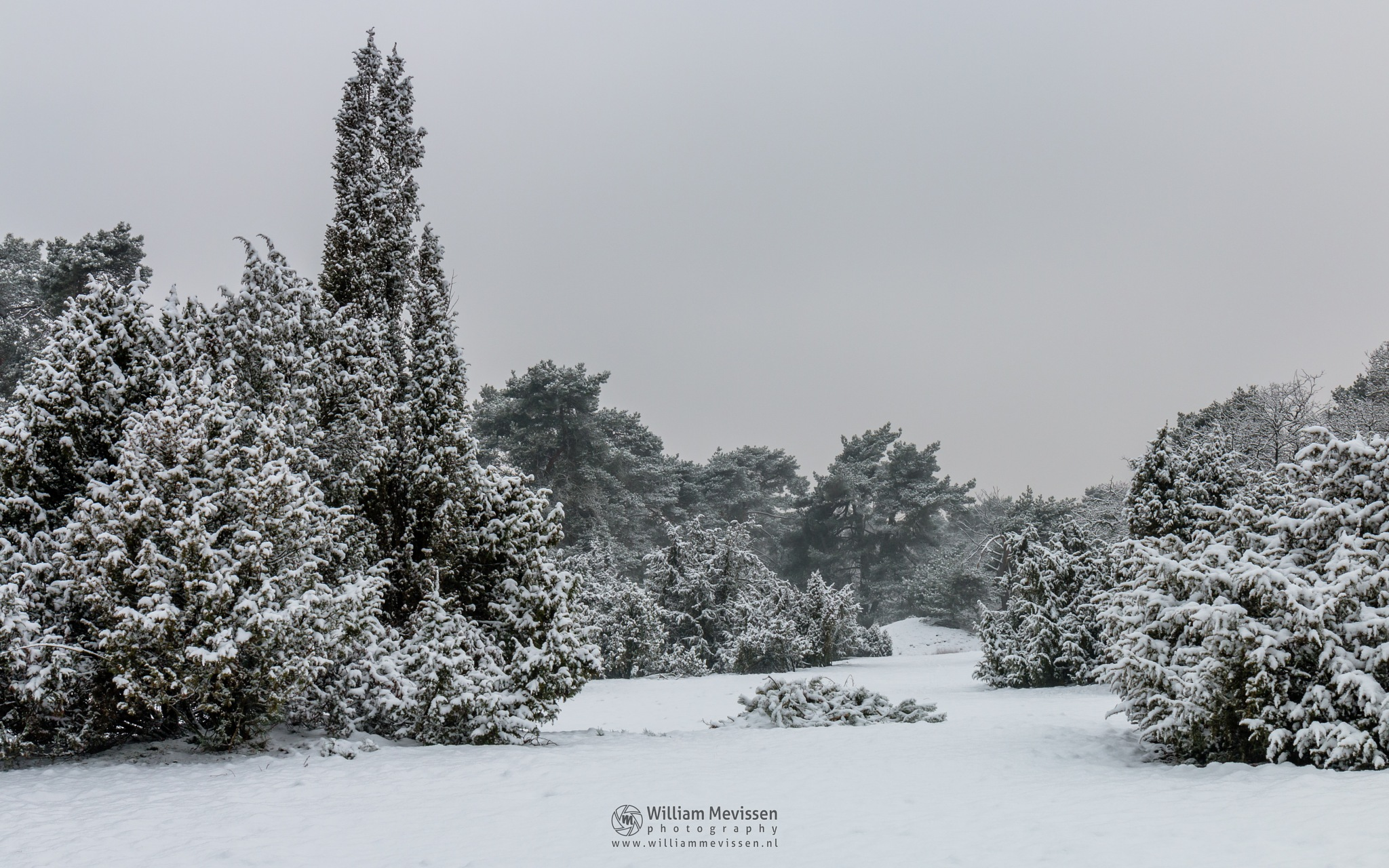 Photo in Landscape #boshuizerbergen #boschhuizerbergen #limburg #noord-limburg #venray #nature #forest #juniper #winter #snow