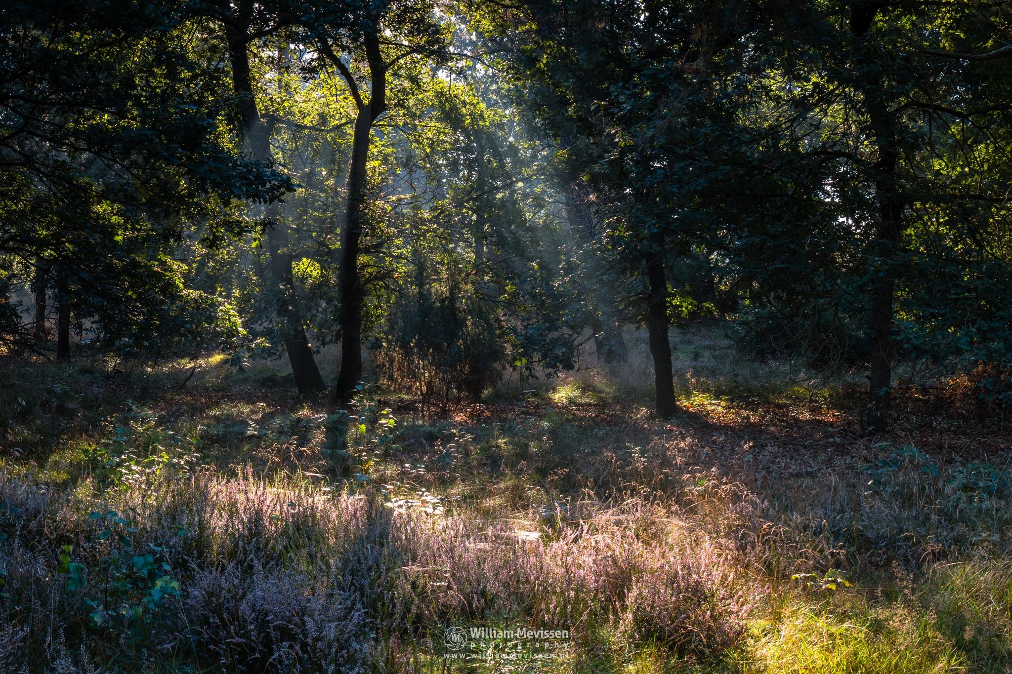 Photo in Nature #boshuizerbergen #boschhuizerbergen #woods #limburg #noord-limburg #venray #nature #forest #dunes #netherlands #pine #pine forest #sunrise #light #sunlight #heather #rays #beams #hdr