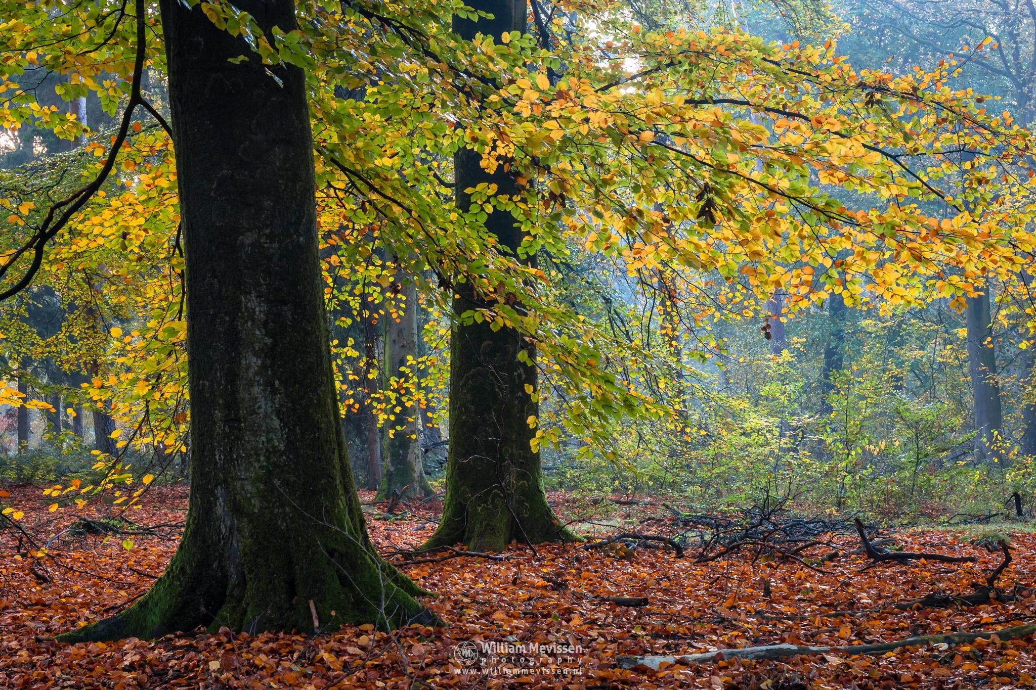 Photo in Nature #foliage #fog #mist #mood #autumn #beech #woods #ballonzuilbossen #limburg #venray #merselo #noord-limburg #trees #netherlands #forest #nature