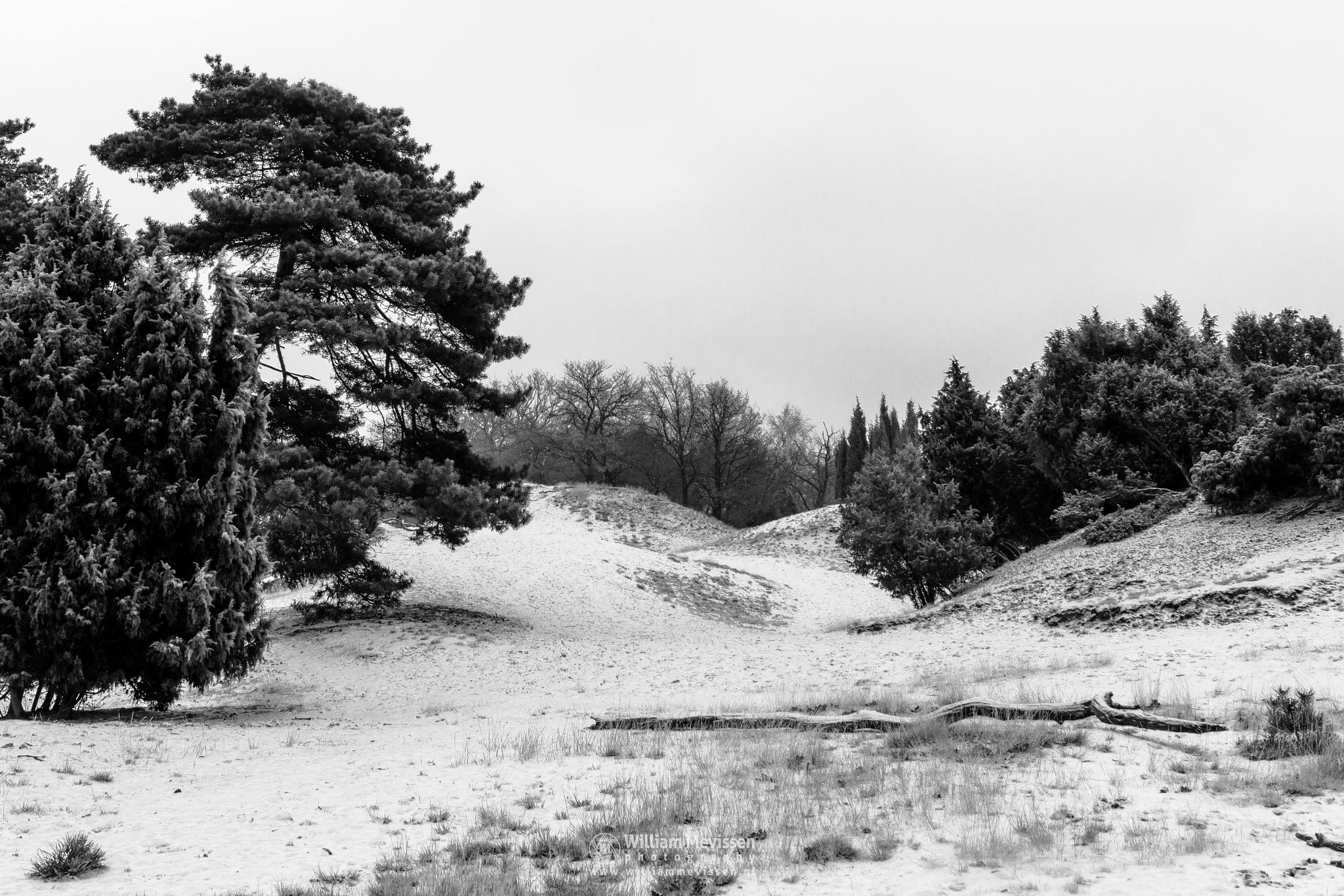 Photo in Landscape #boshuizerbergen #boschhuizerbergen #limburg #noord-limburg #venray #nature #forest #woods #netherlands #winter #snow #juniper #sanddunes