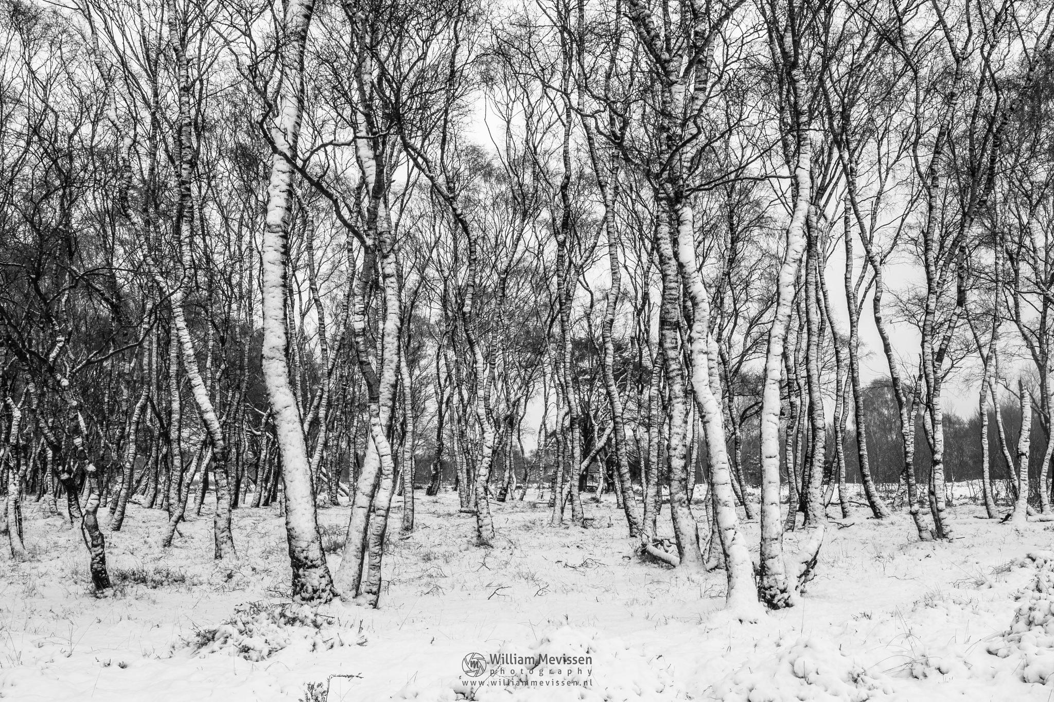 Photo in Black and White #bergen #limburg #winter #snow #birches #tree #birch #trees #nature #blackandwhite #noord-limburg #bergerheide #forest #woods #maasduinen #nieuw-bergen