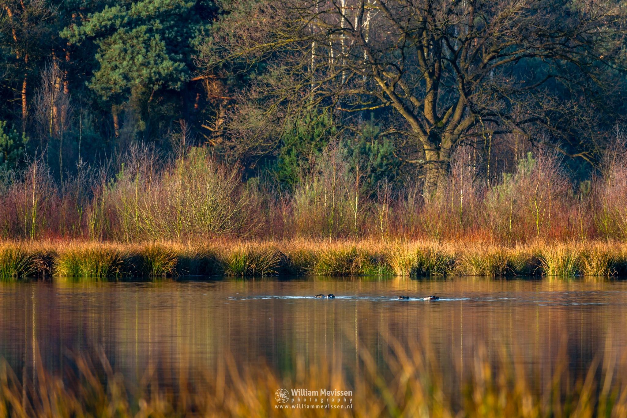 Photo in Nature #bergerheide #forest #woods #maasduinen #limburg #noord-limburg #nieuw-bergen #bergen #nature #light #fen #driessenven #surise #ducks #duck