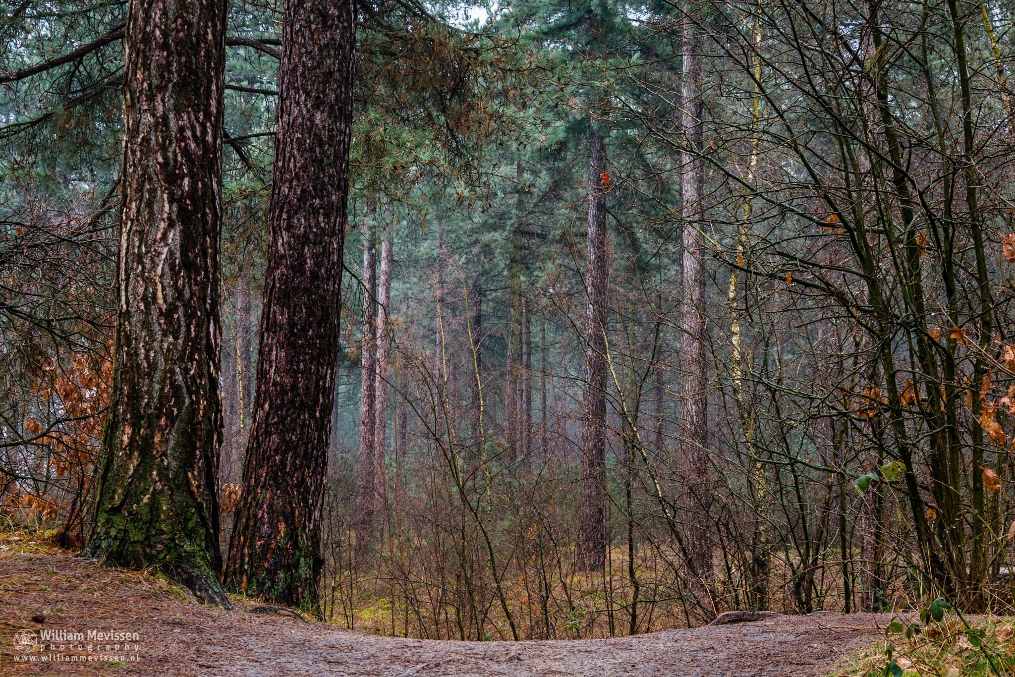 Pine Trees by William Mevissen