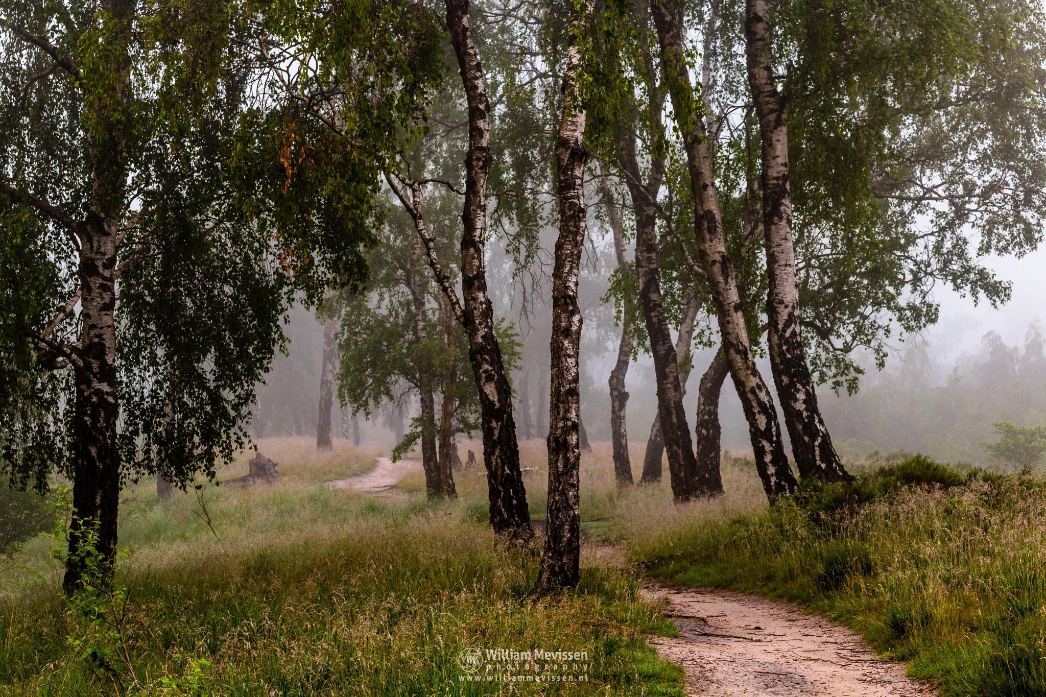 Photo in Nature #light #tree #landgoed #landgoed de hamert #de hamert #hamert #maasduinen #noord-limburg #limburg #wellerlooi #national park #nature #limburgs landschap #trees #forest #path #mist #fog #foggy #route #birches #birch