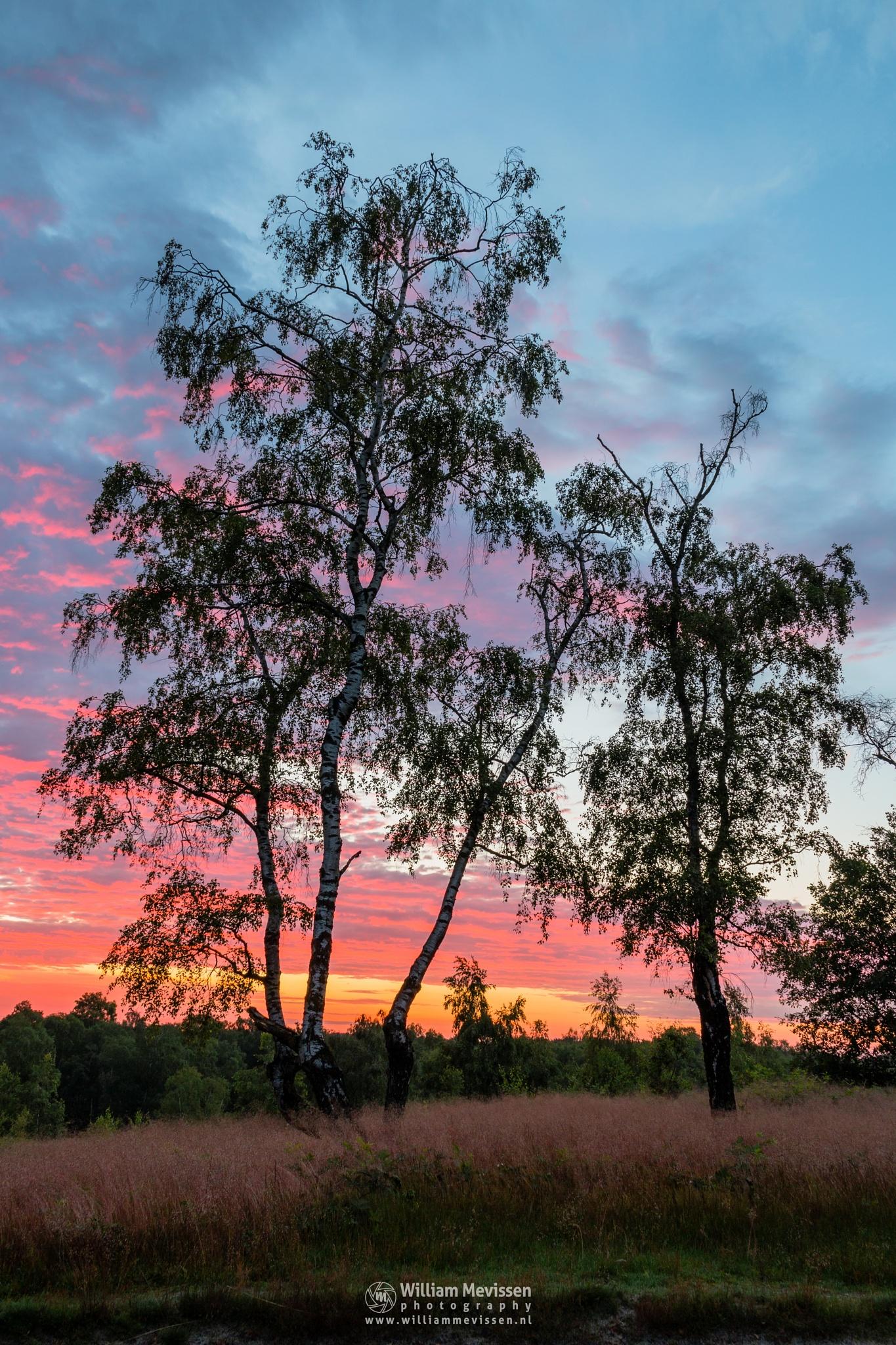Colorful Twilight Birches by William Mevissen