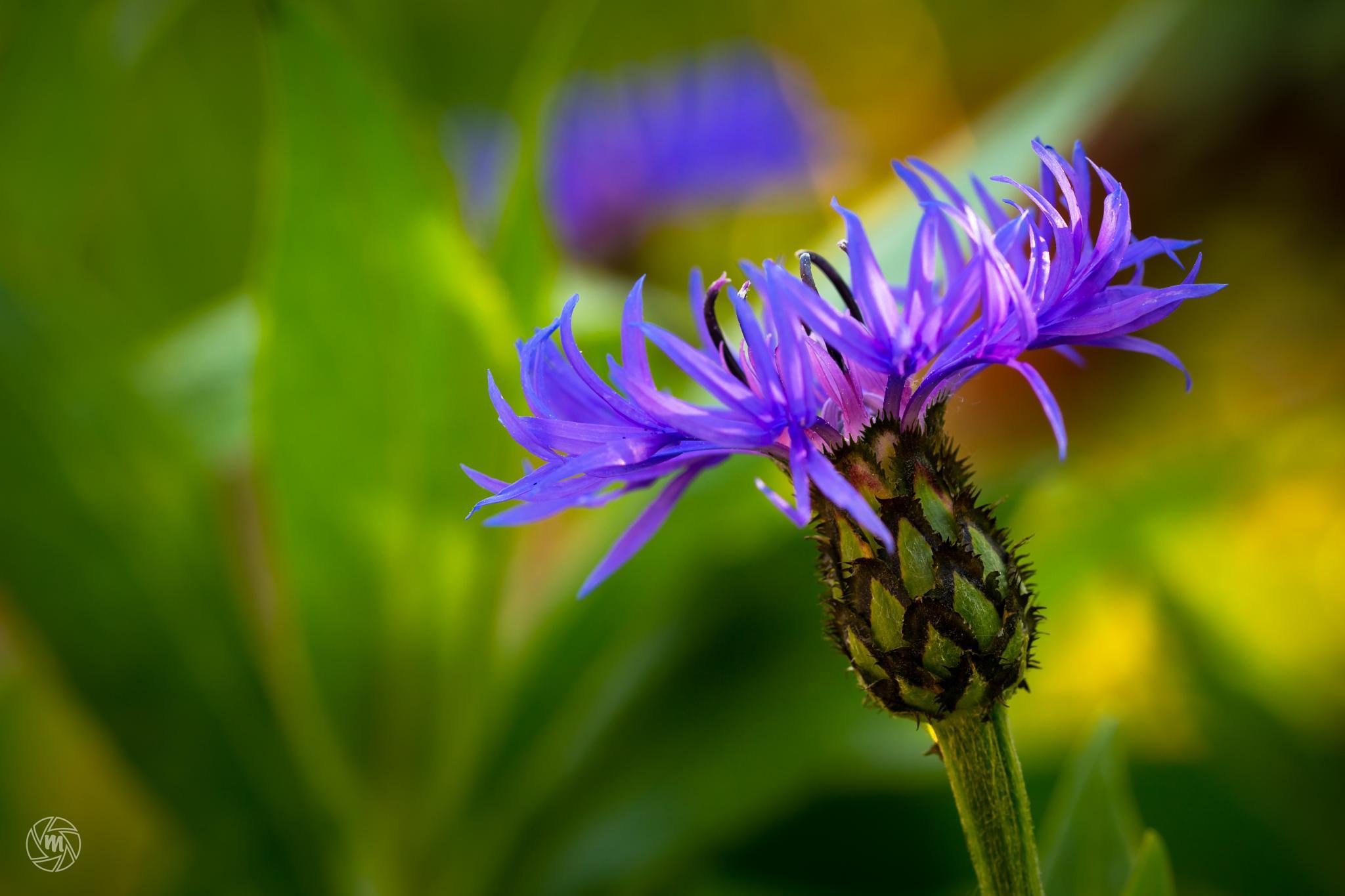 Cornflower Blooming by William Mevissen